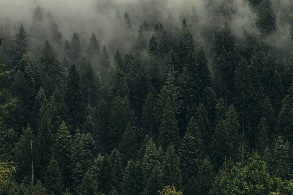 aerial view of pine trees in mist