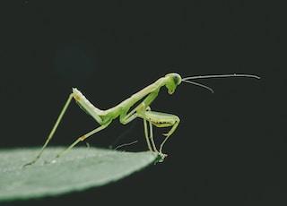 green grasshopper on green leaf macro photography