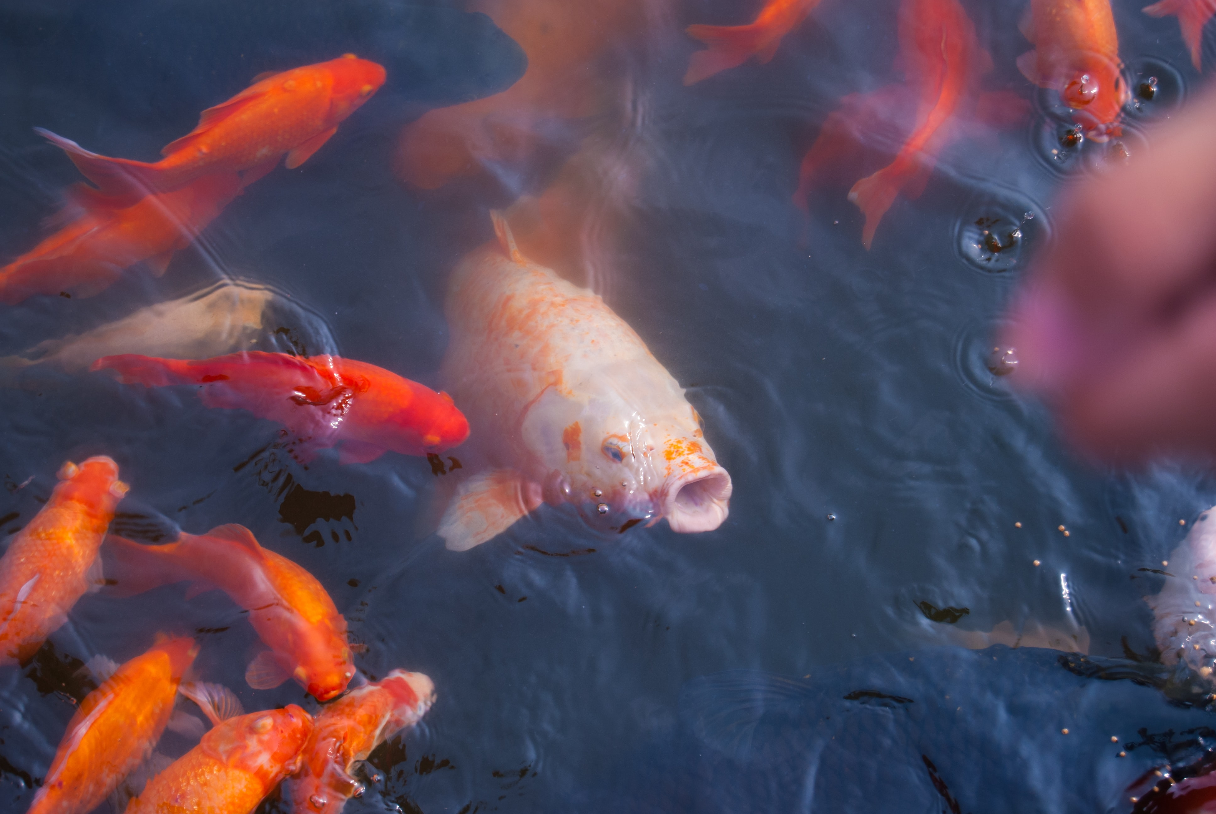 School of orange koi fish open their mouths in the water for food