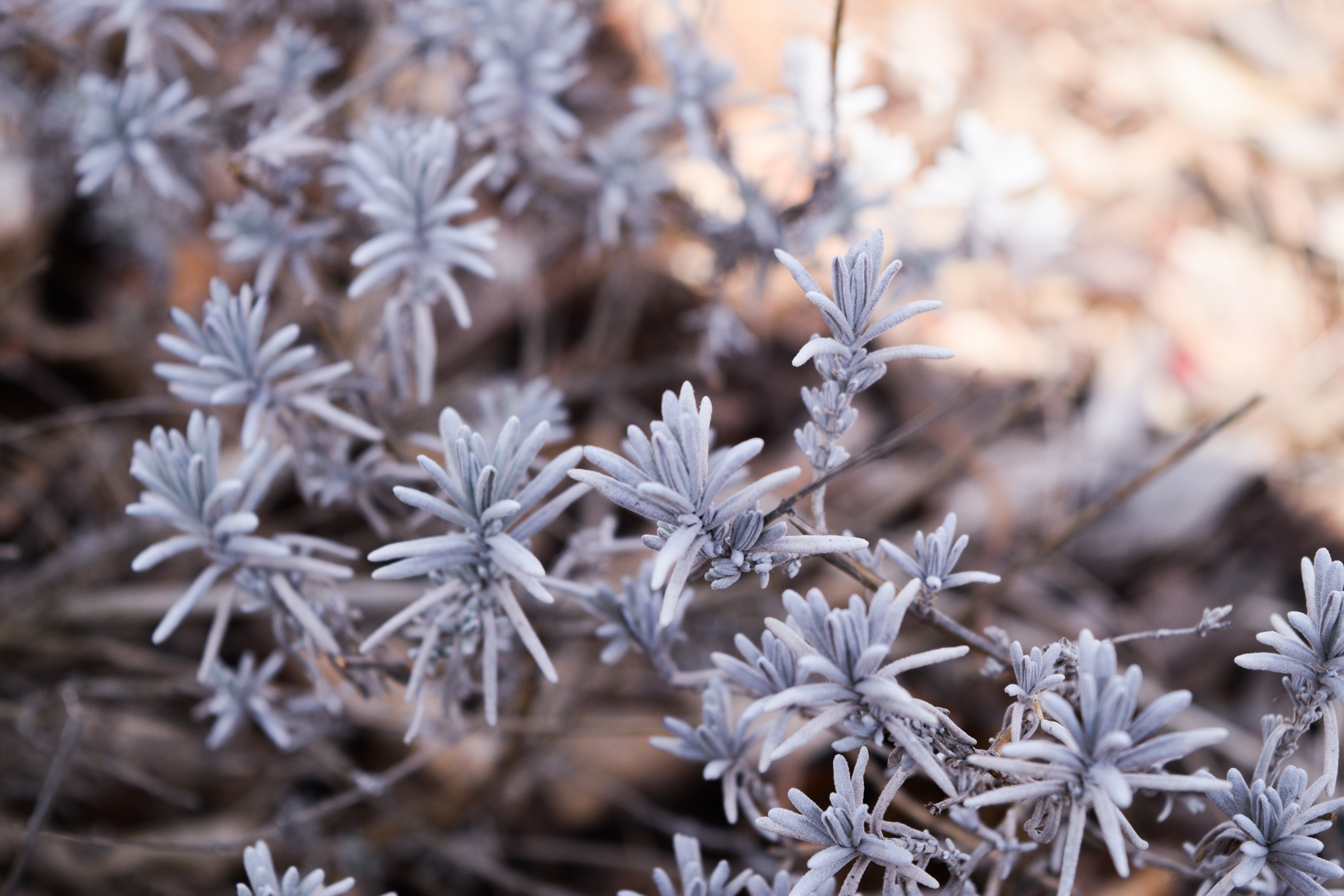 White pine leaves on a winter plant