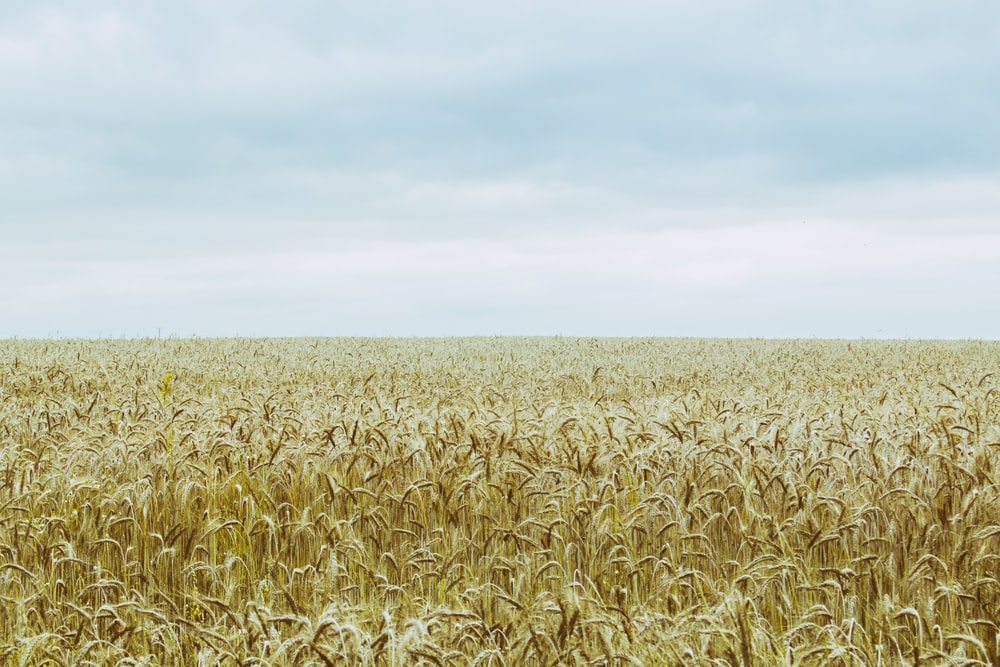 500 wheat field pictures download free images on unsplash