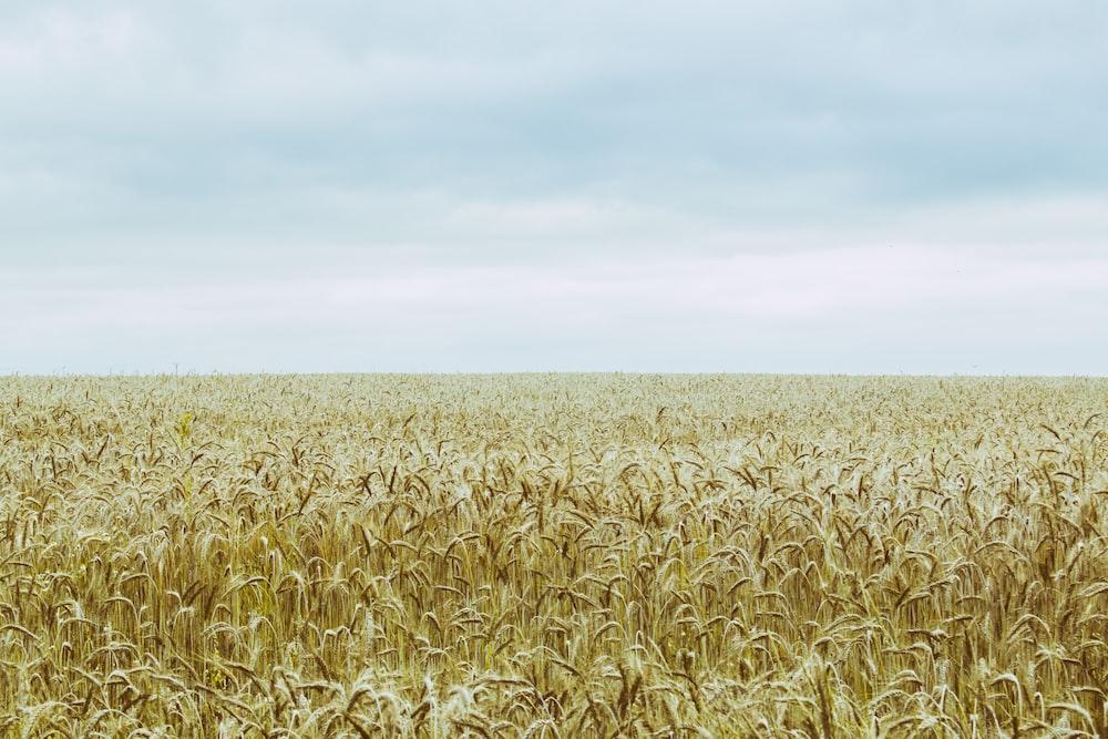 corn field under gray clouds