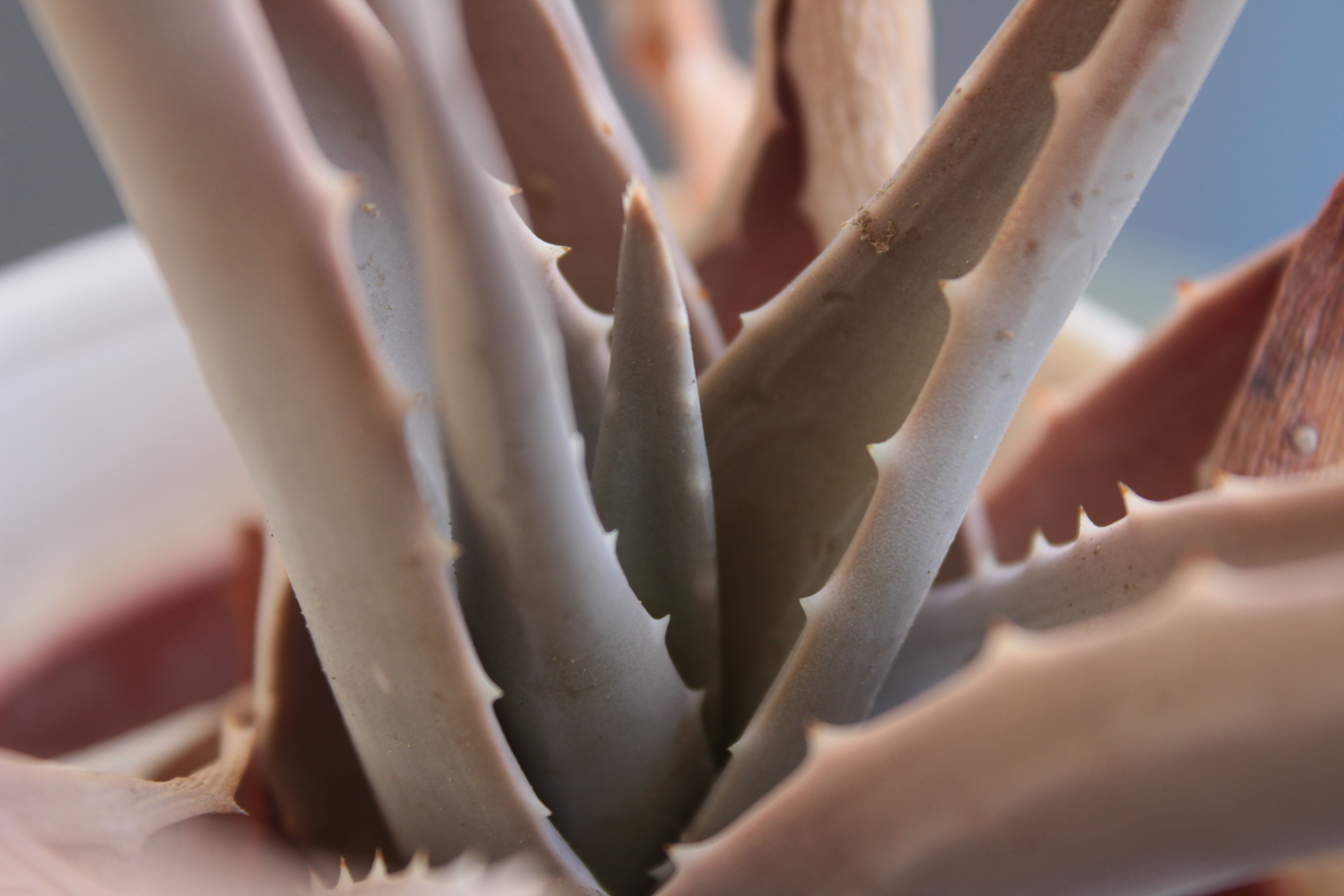 selective focus green aloe vera plant
