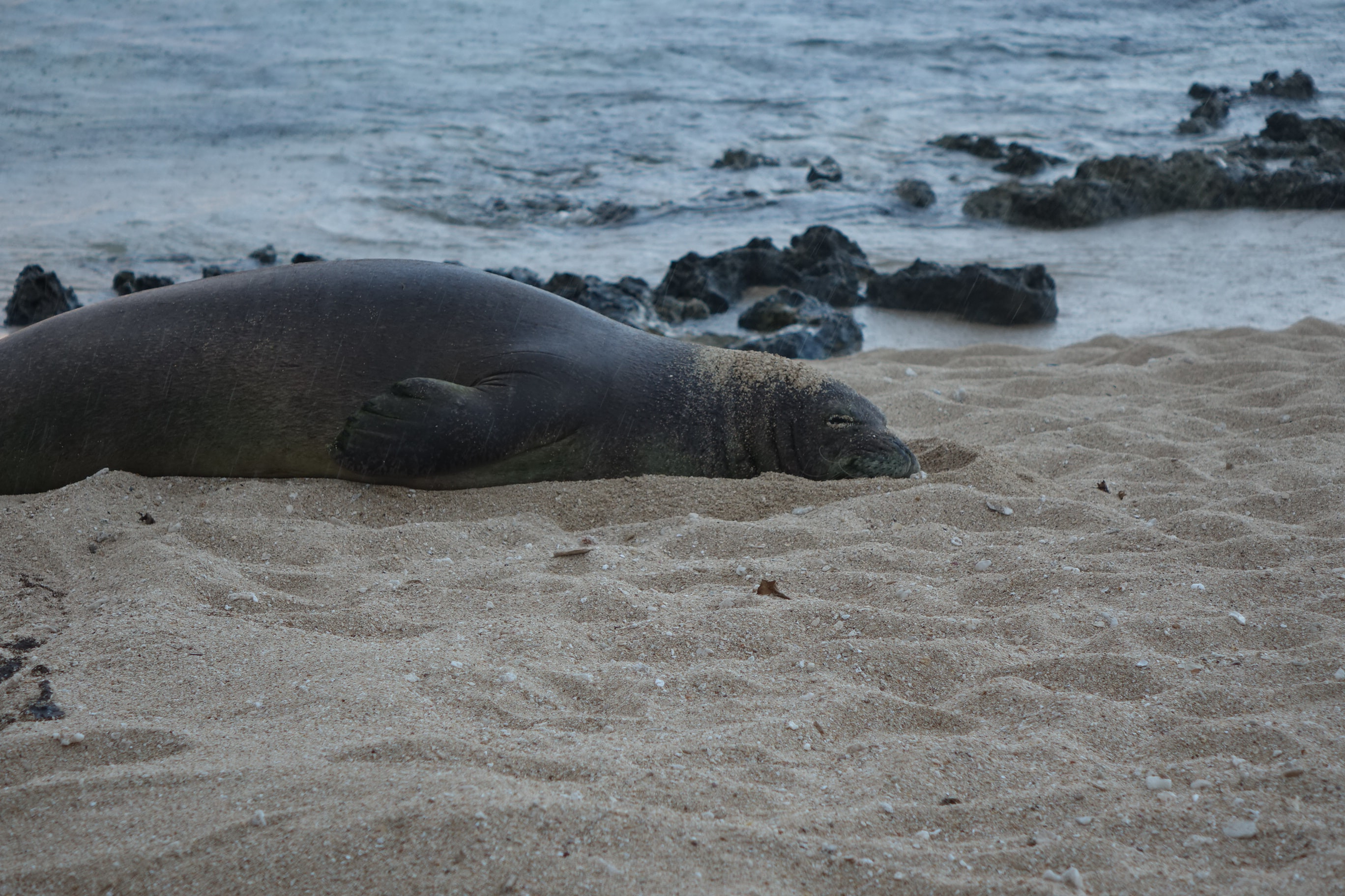 gray sea lion on brown sand near body of water