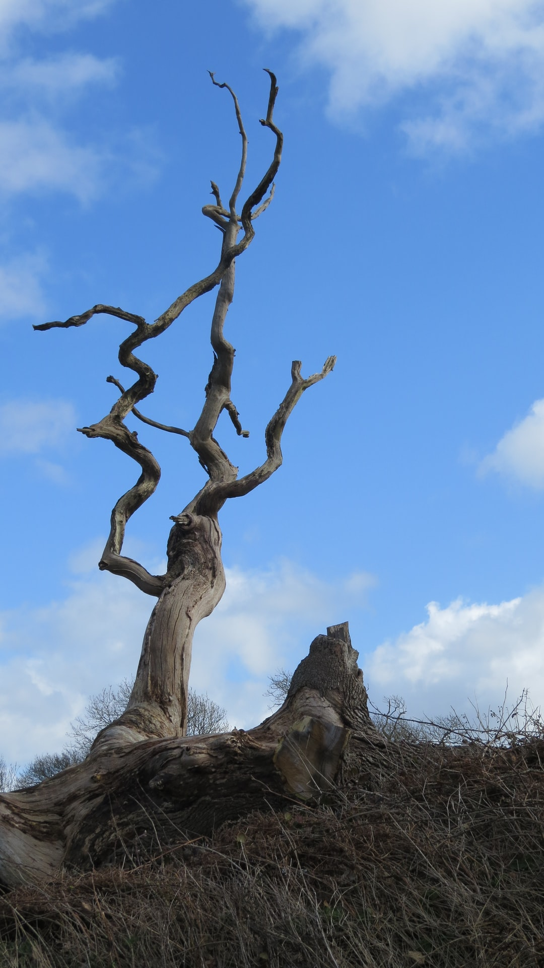Single dead tree against blue sky, arid place