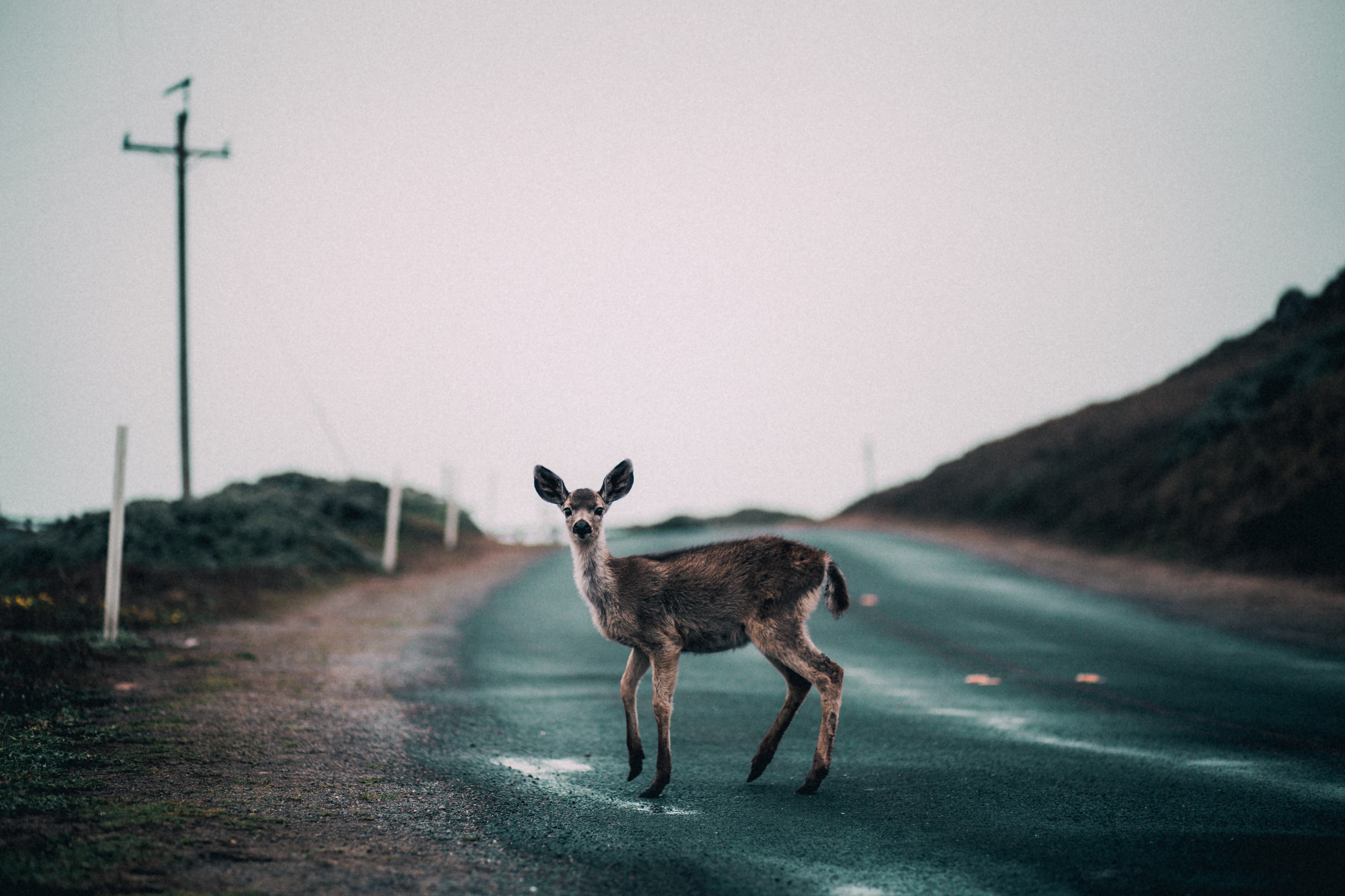 A deer caught looking up in the middle of the street crossing to the patch of grass beside a hill on an overcast day