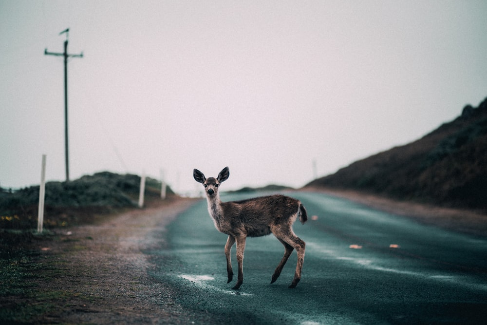 brown deer on road