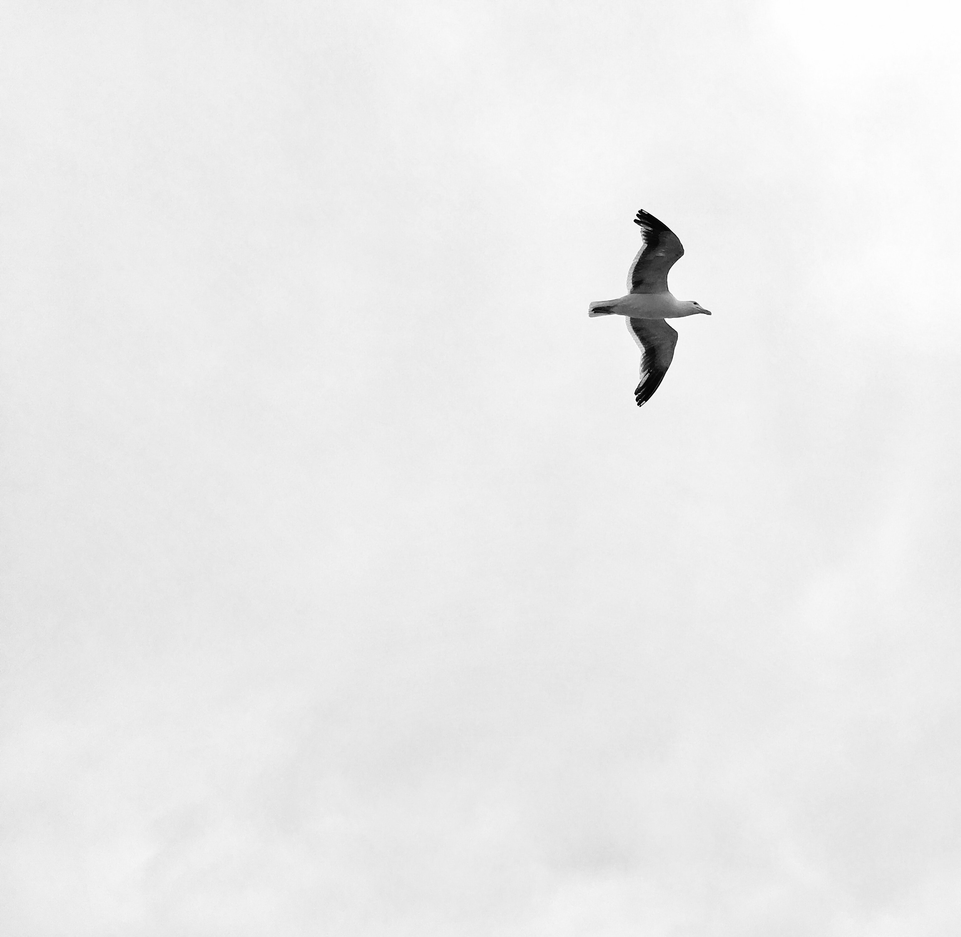 Seagull flying on a cloudy day at North Beach, San Francisco, California, United States