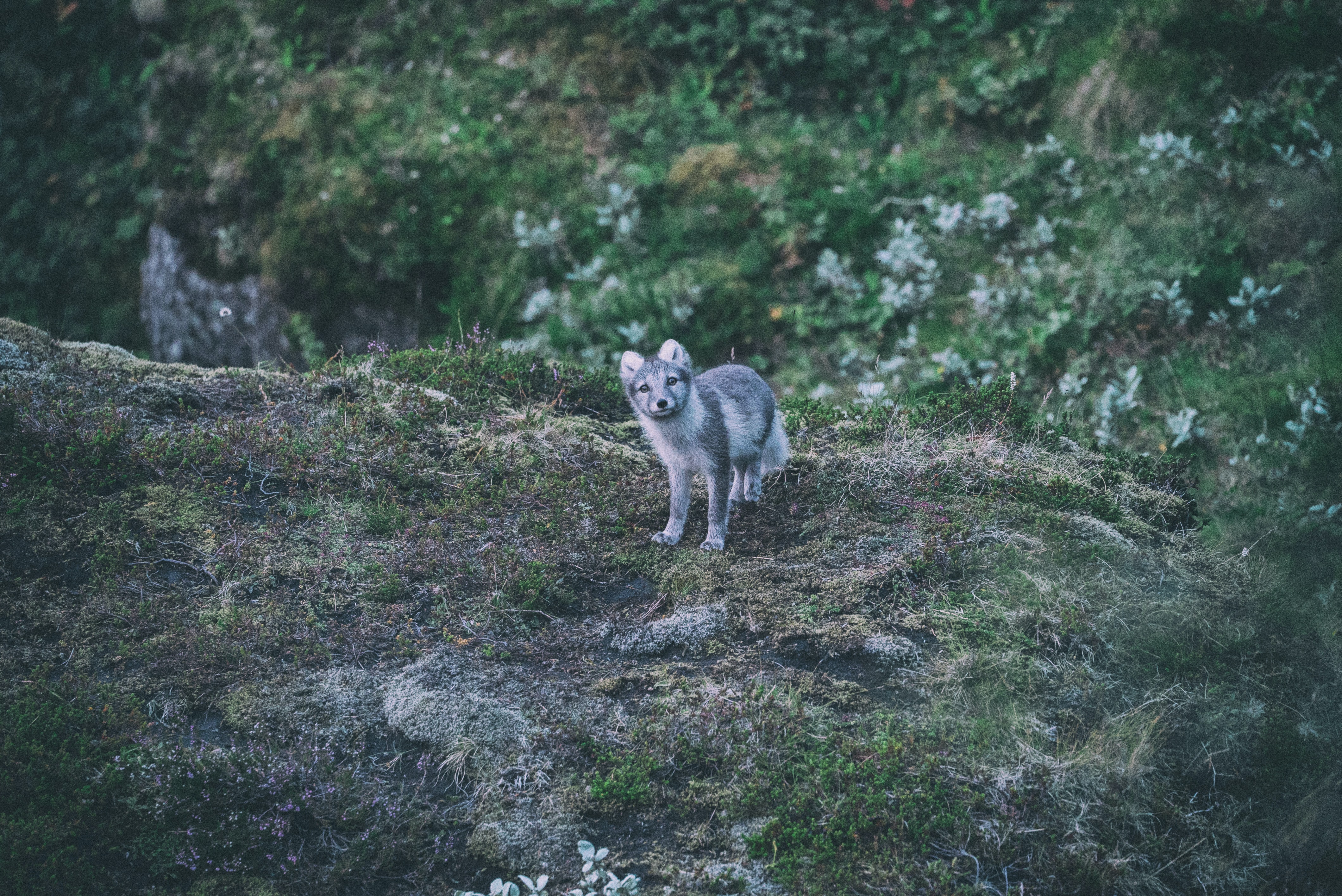 A baby wolf staring at the camera in the wilderness