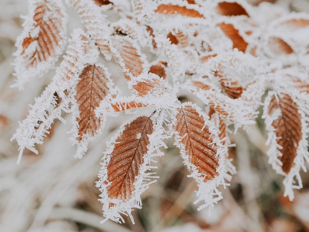 closeup photography of frozen brown leaves