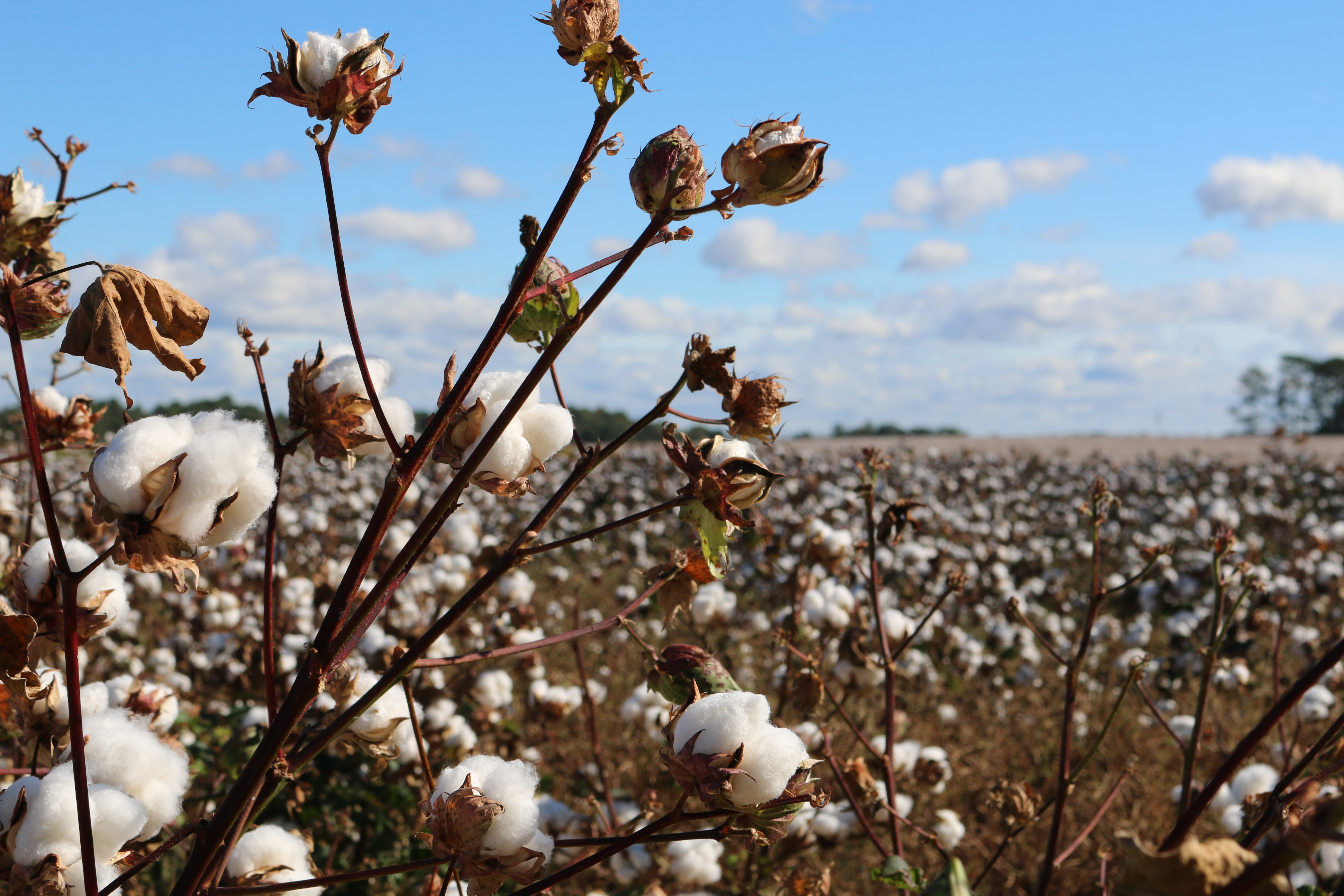 Cottonseed Hummus, Anyone? Texas A&M Researchers Win USDA Approval, Hope to Help Feed the World with Cotton