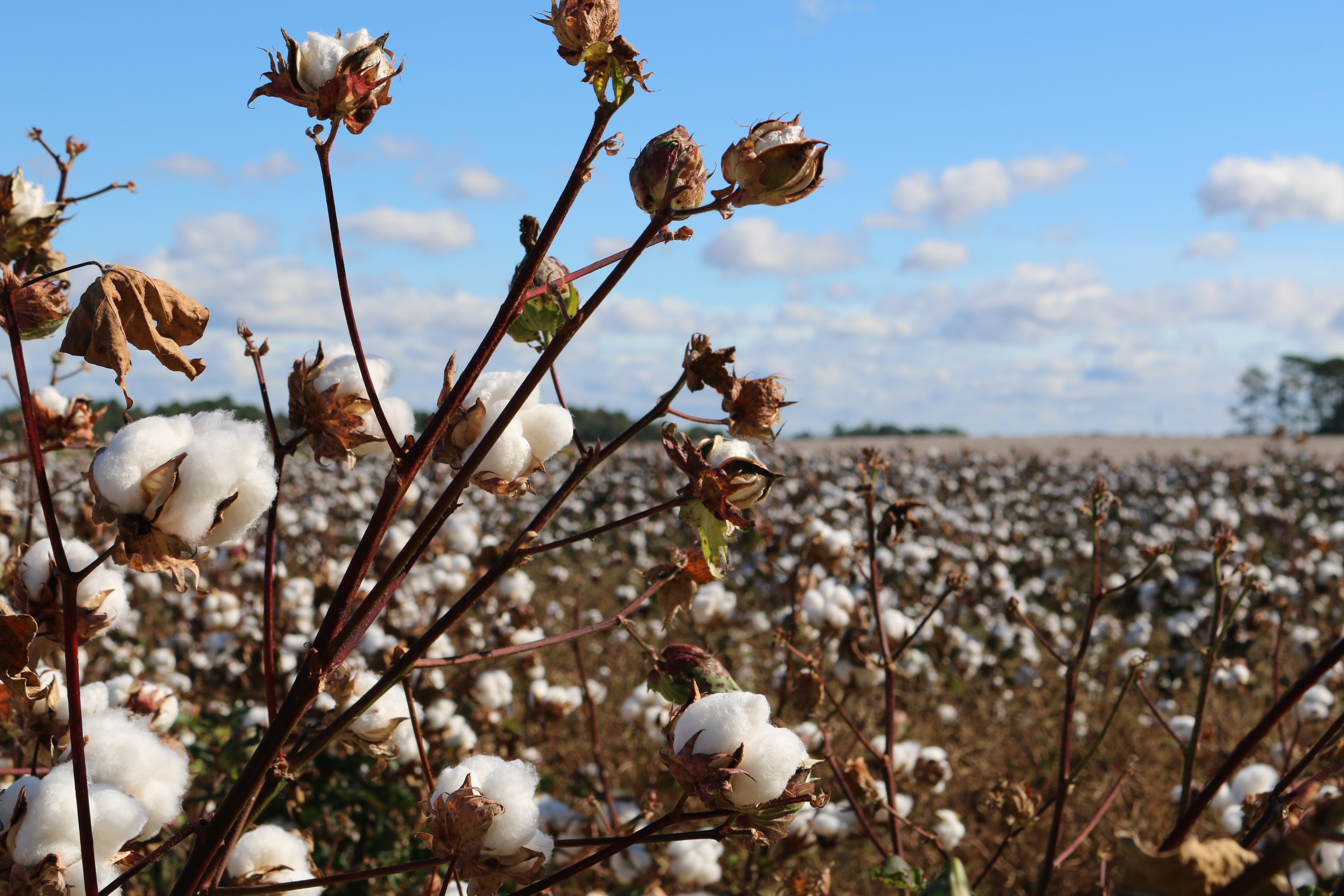 field of cotton trees