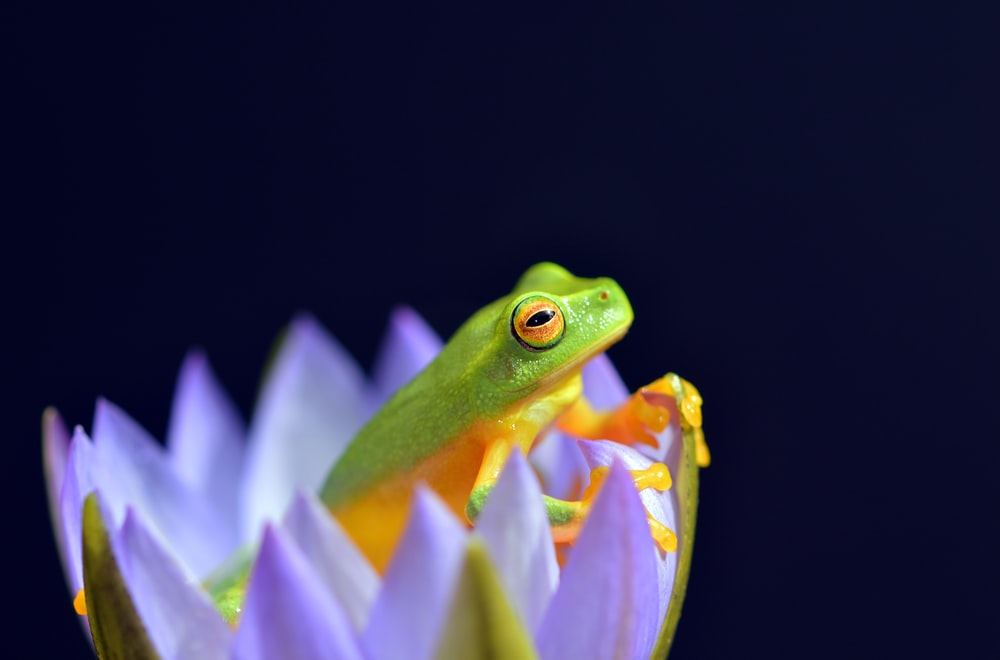 selected focus photo of green and yellow frog in purple petaled flower