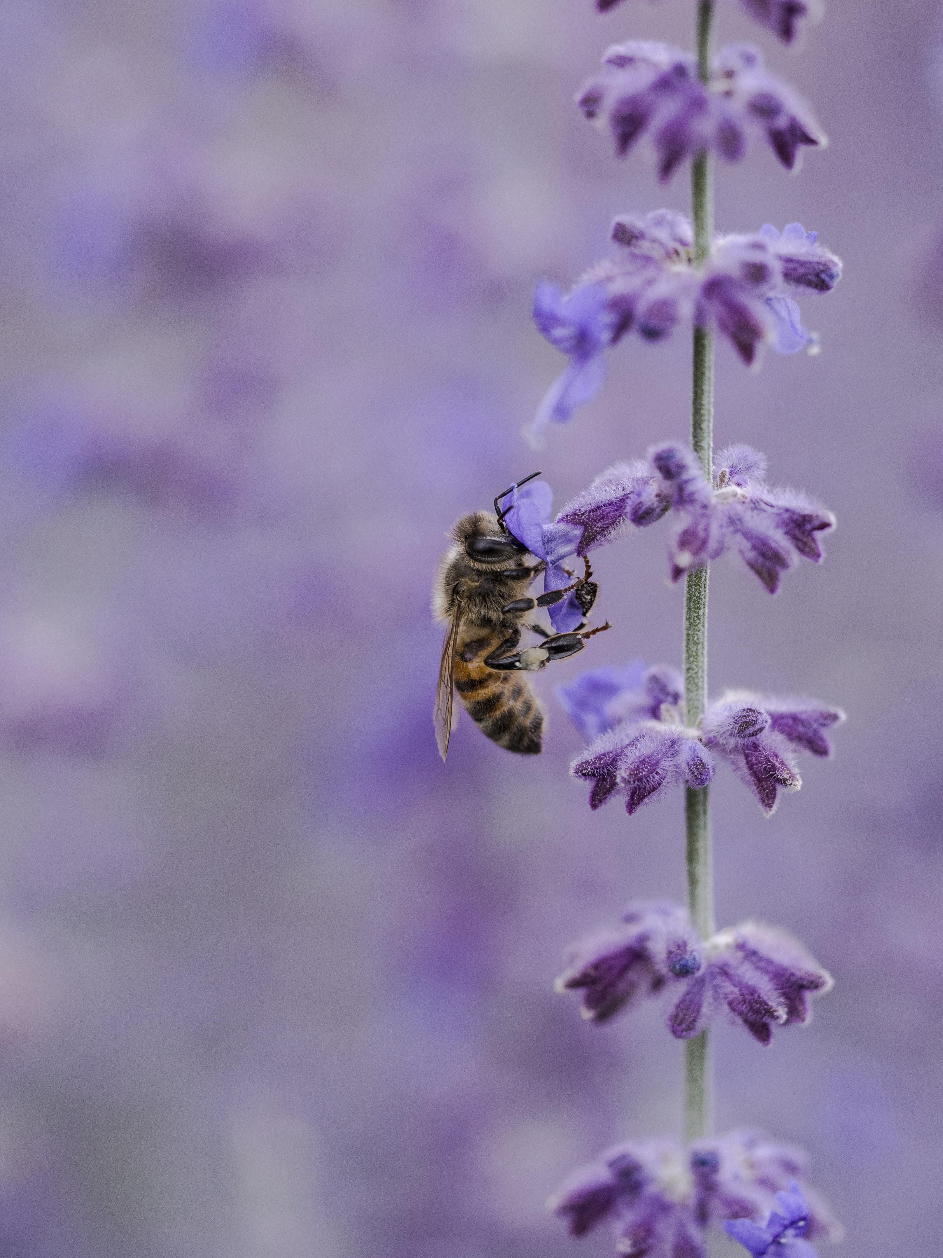 Honeybee pollinates a fuzzy purple flower in a field