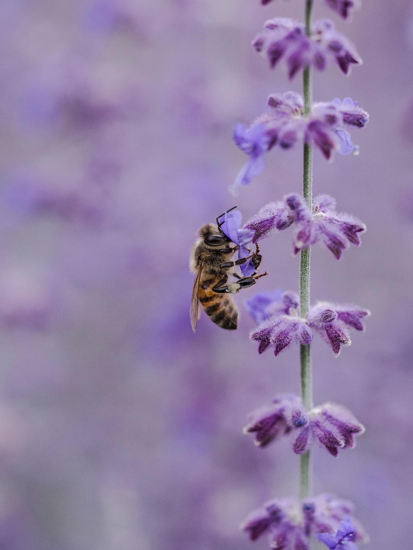 Bee in a Purple Field