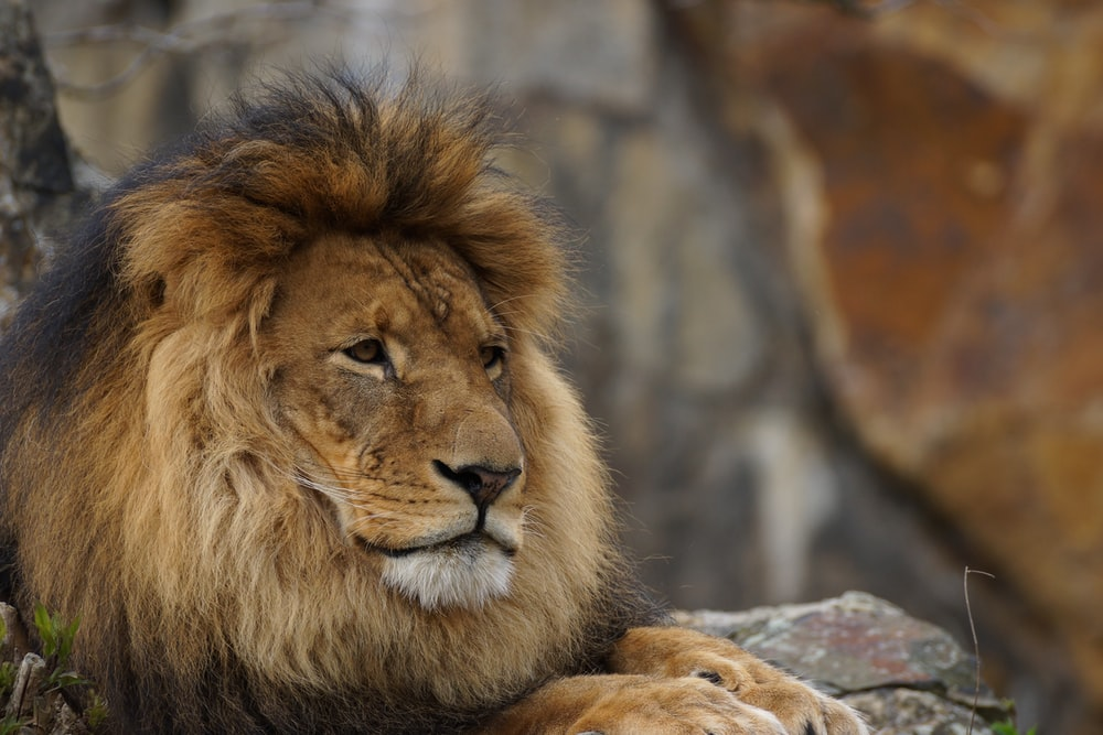 closeup photography of lion lying on rock