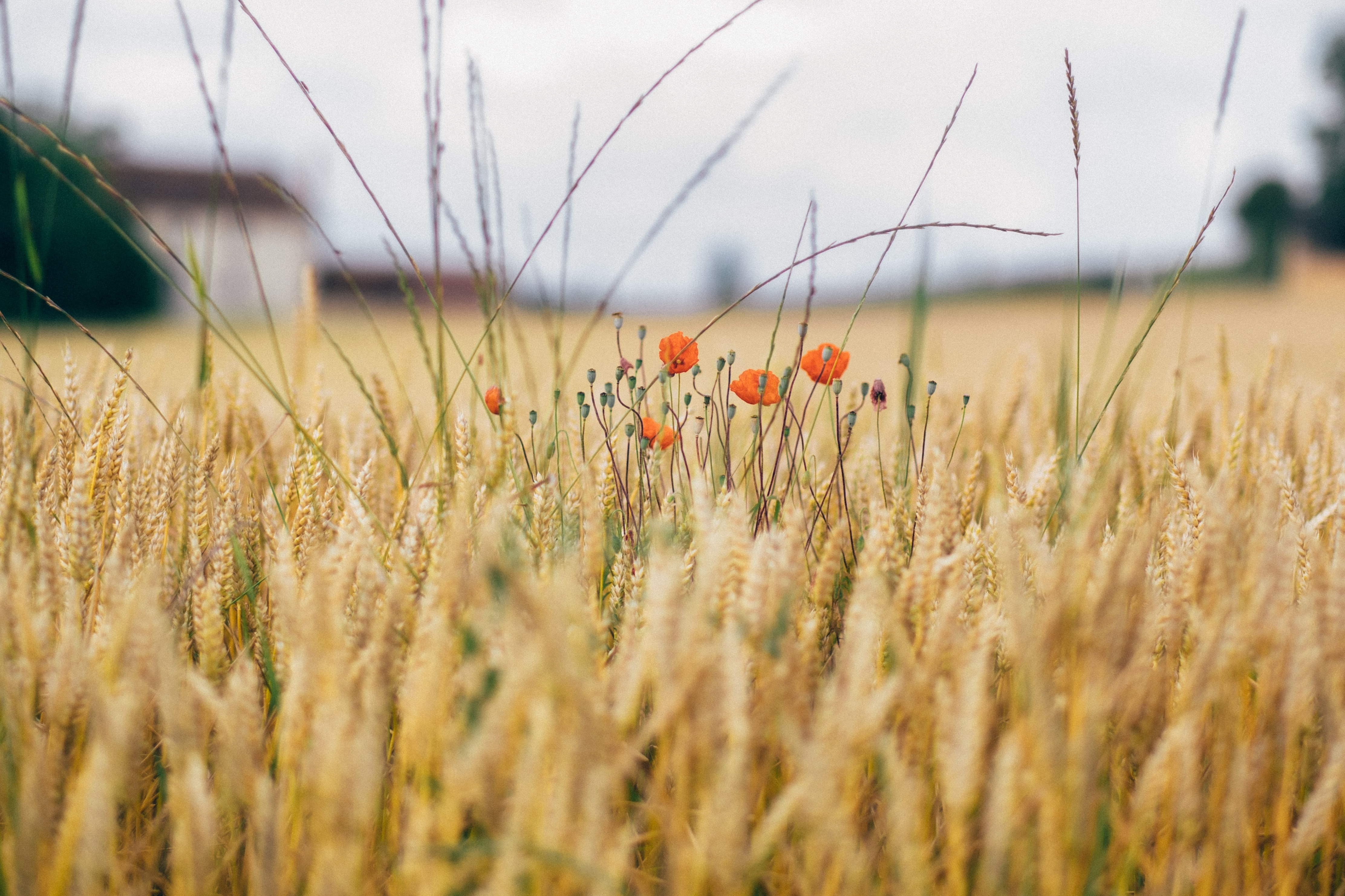 Small gathering of poppies grow among a field of wheat