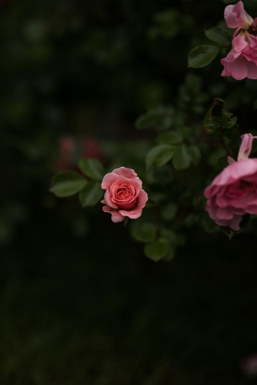 pink rose in macro shot photography