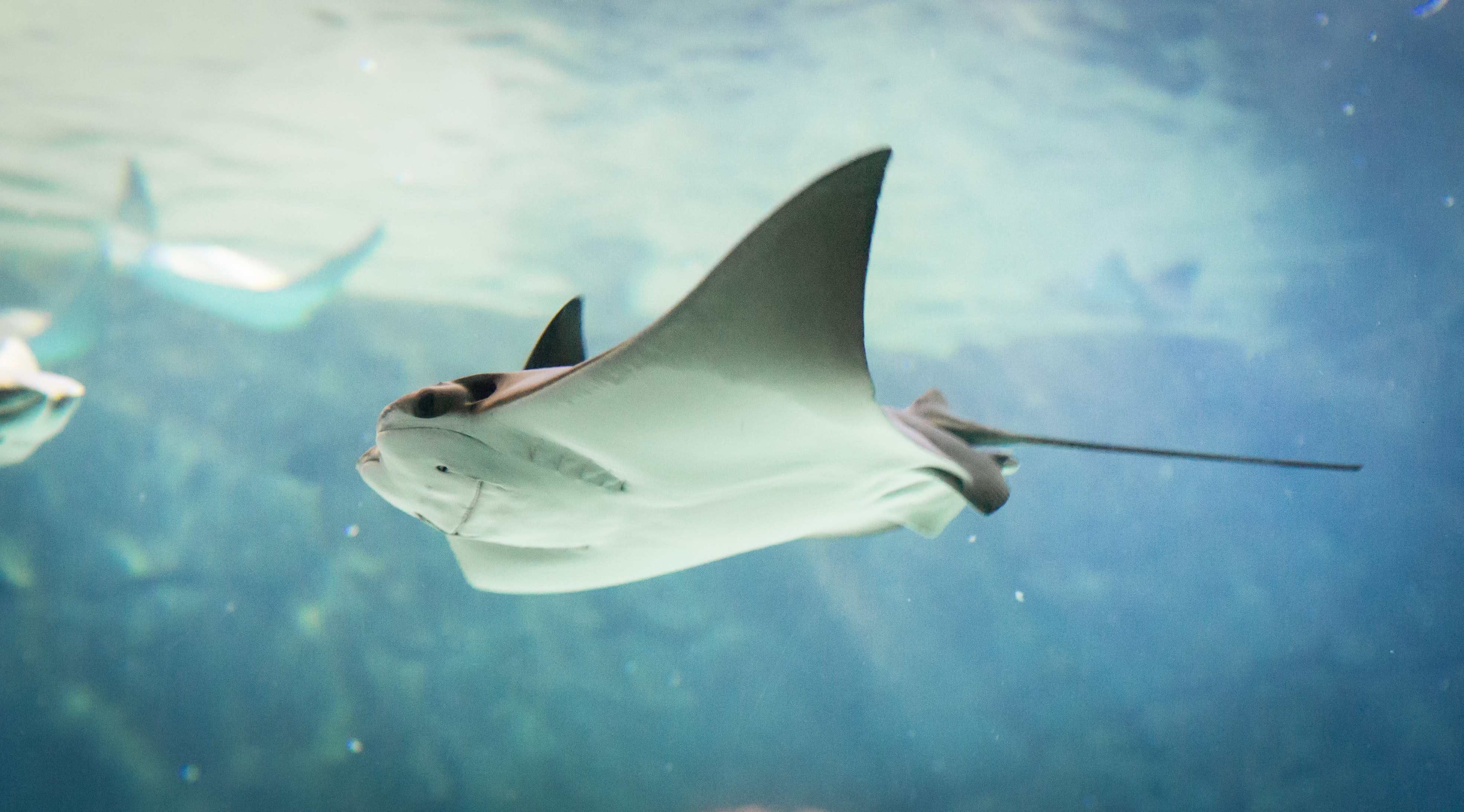 stingray swimming