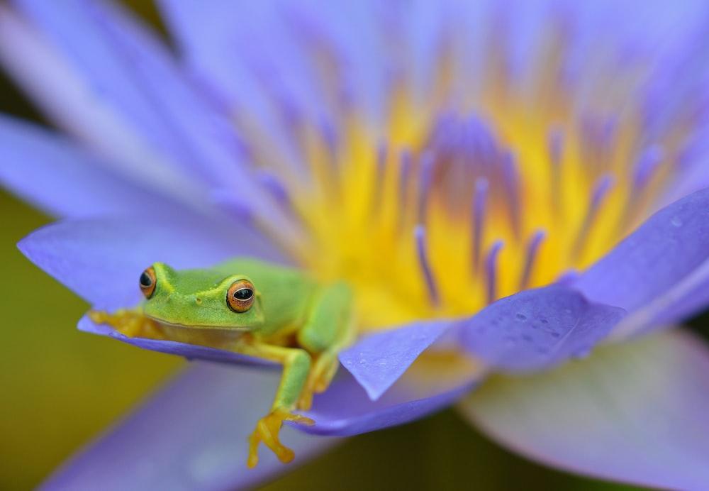 green frog on purple flower