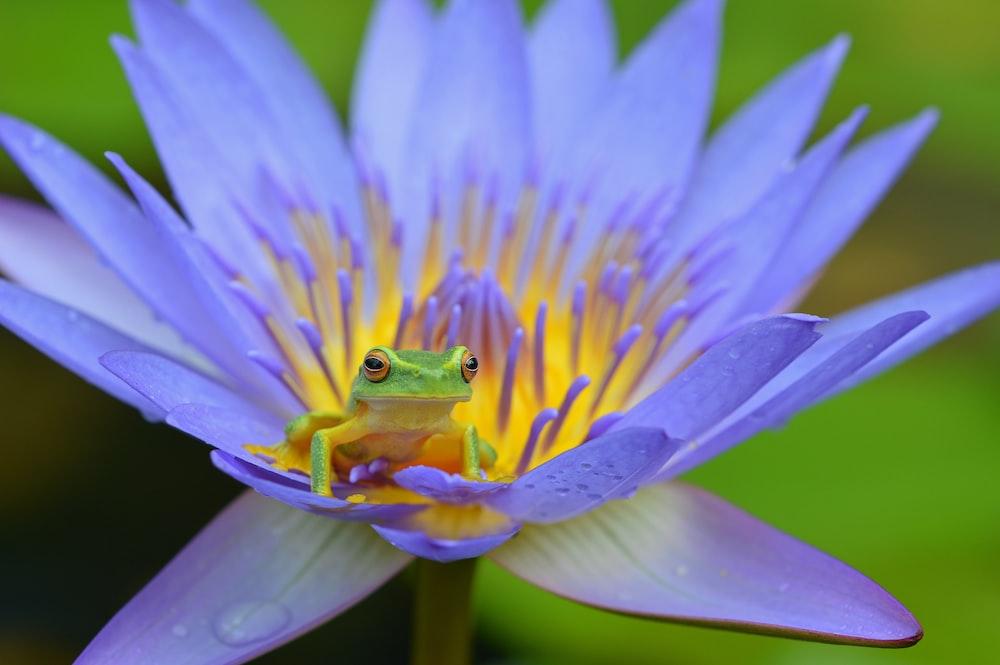 red eye frog on top of purple petaled flower