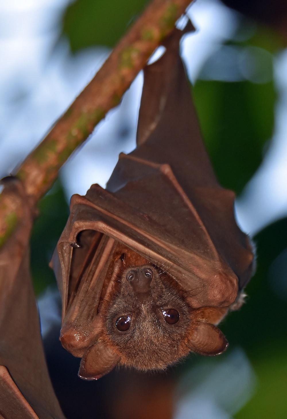 brown bat in close up photo