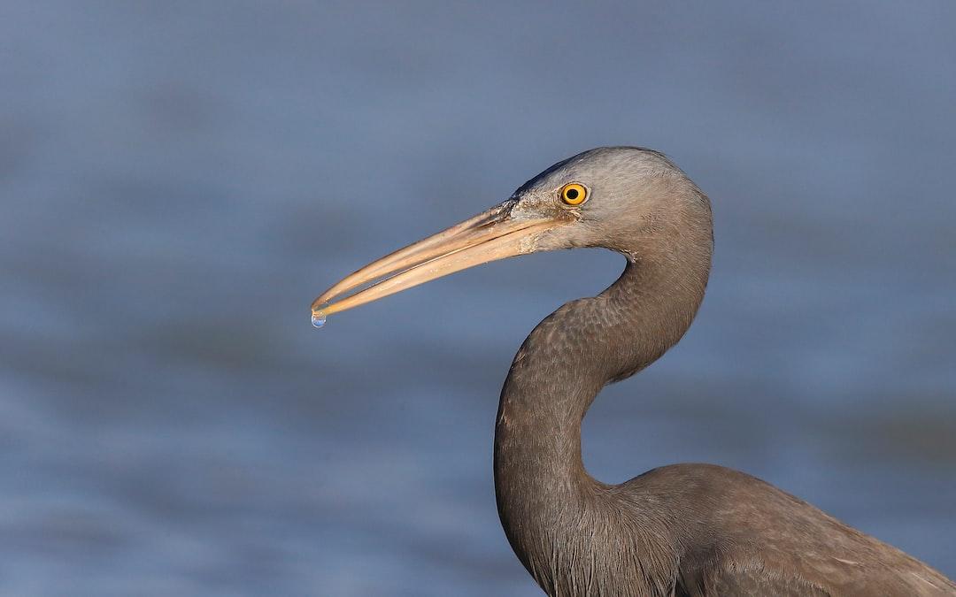 Eastern egret