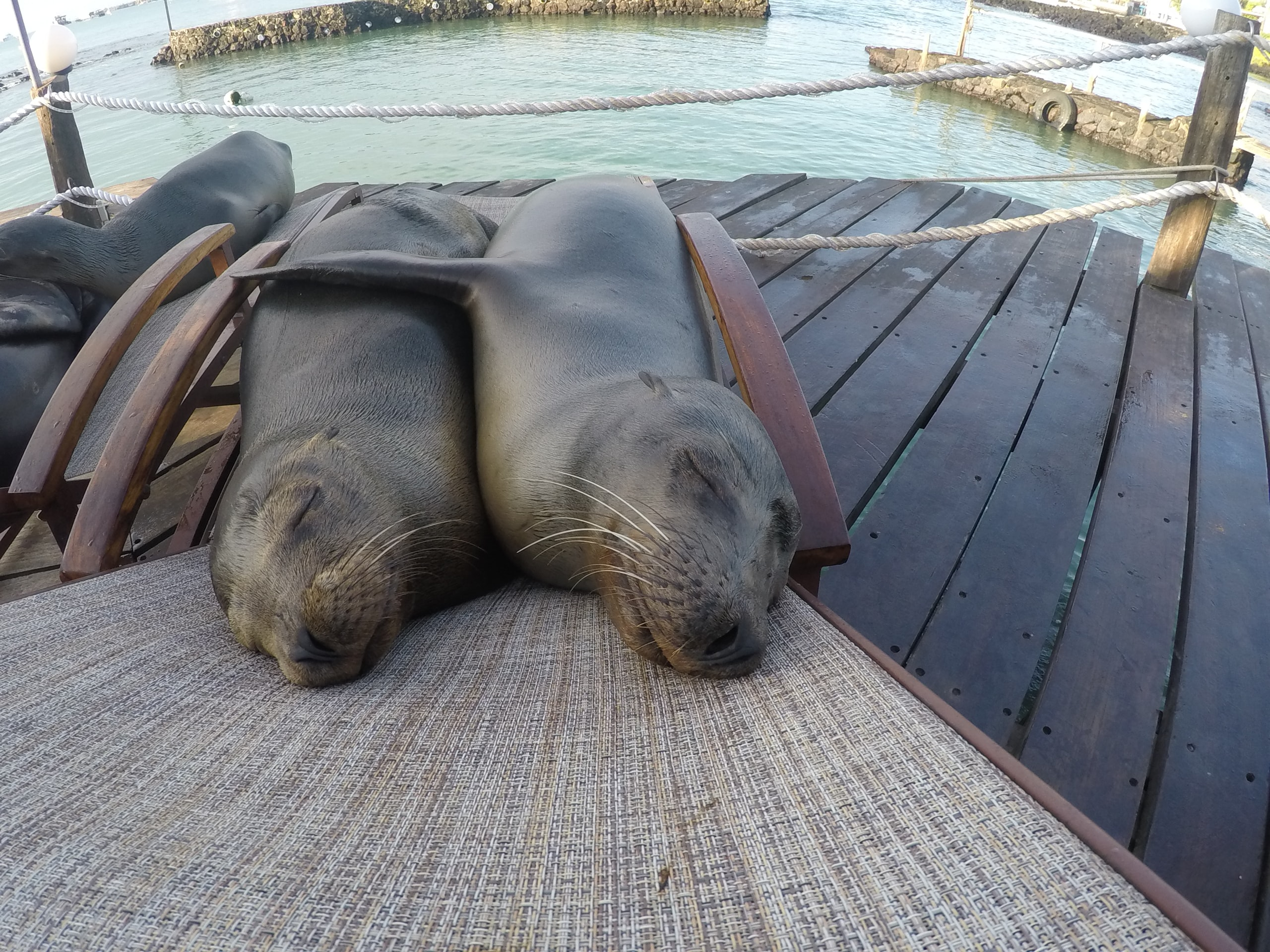 Two sea lions cuddling up to each other while sleeping in a deck chair