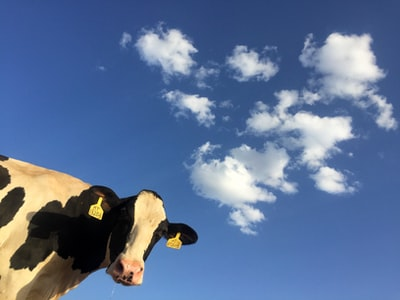 time lapse photography of cattle cow under clouds cow zoom background