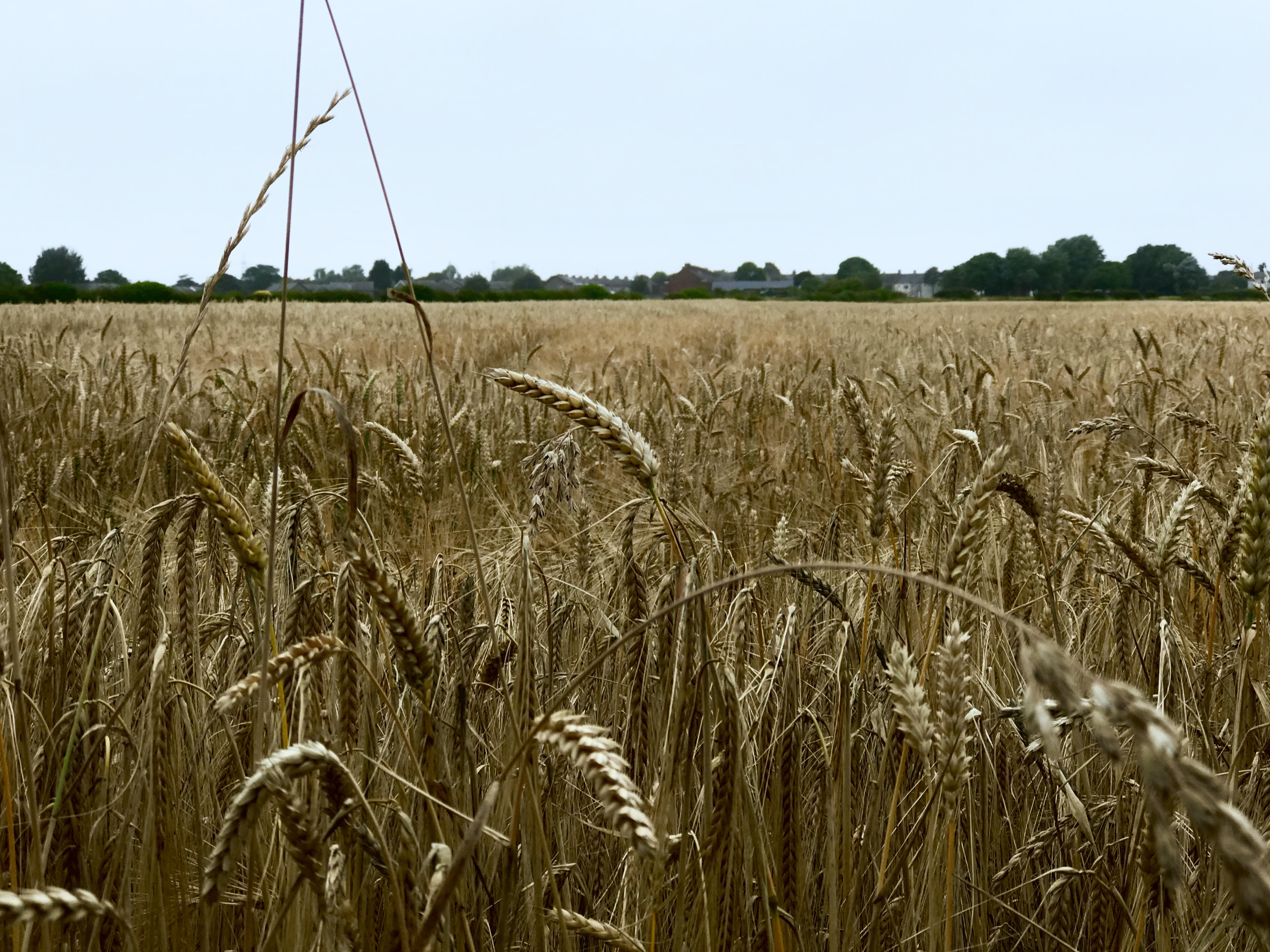 Vast field of wheat on a country farm