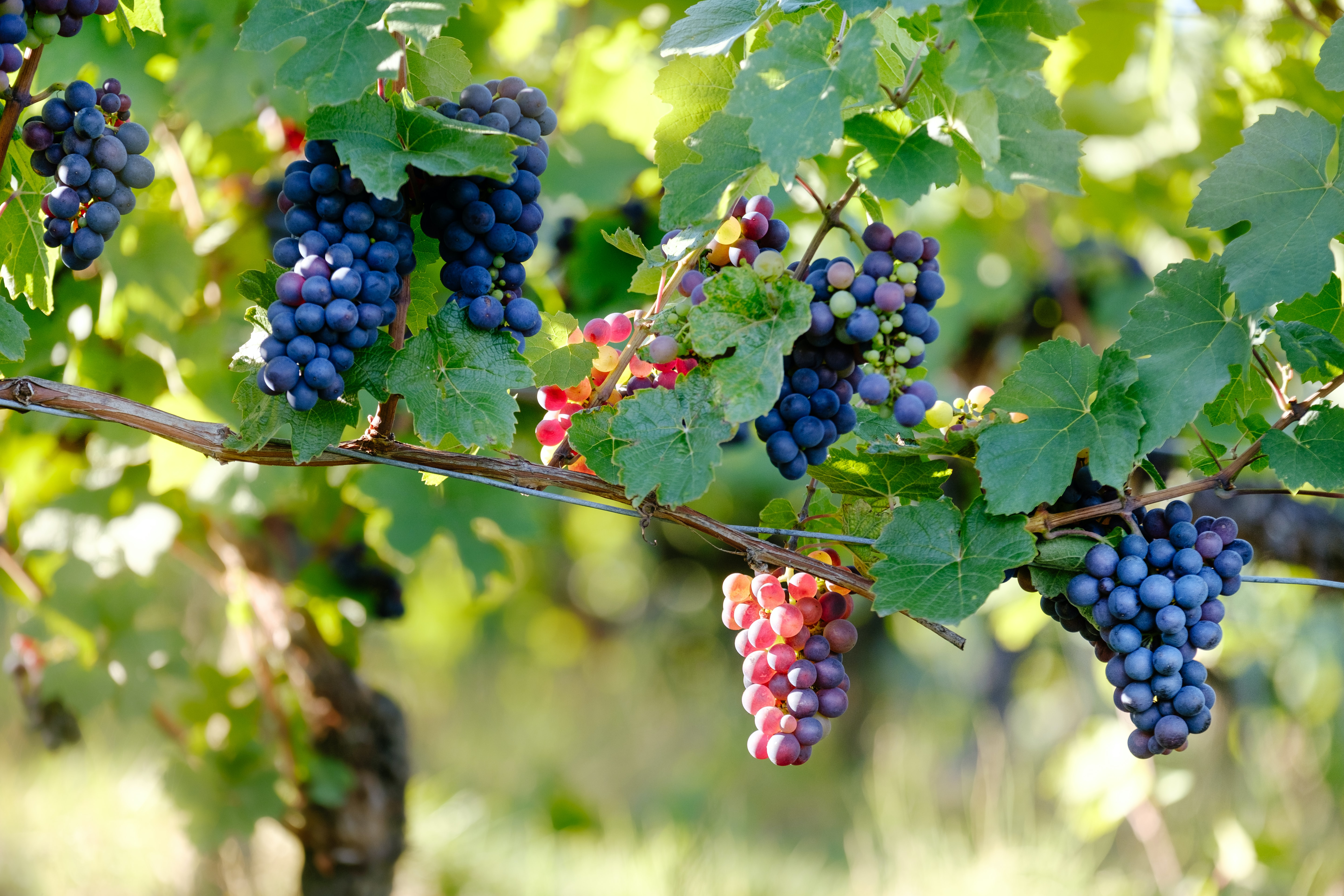 Wild grapes grow on a vine in a wine vineyard