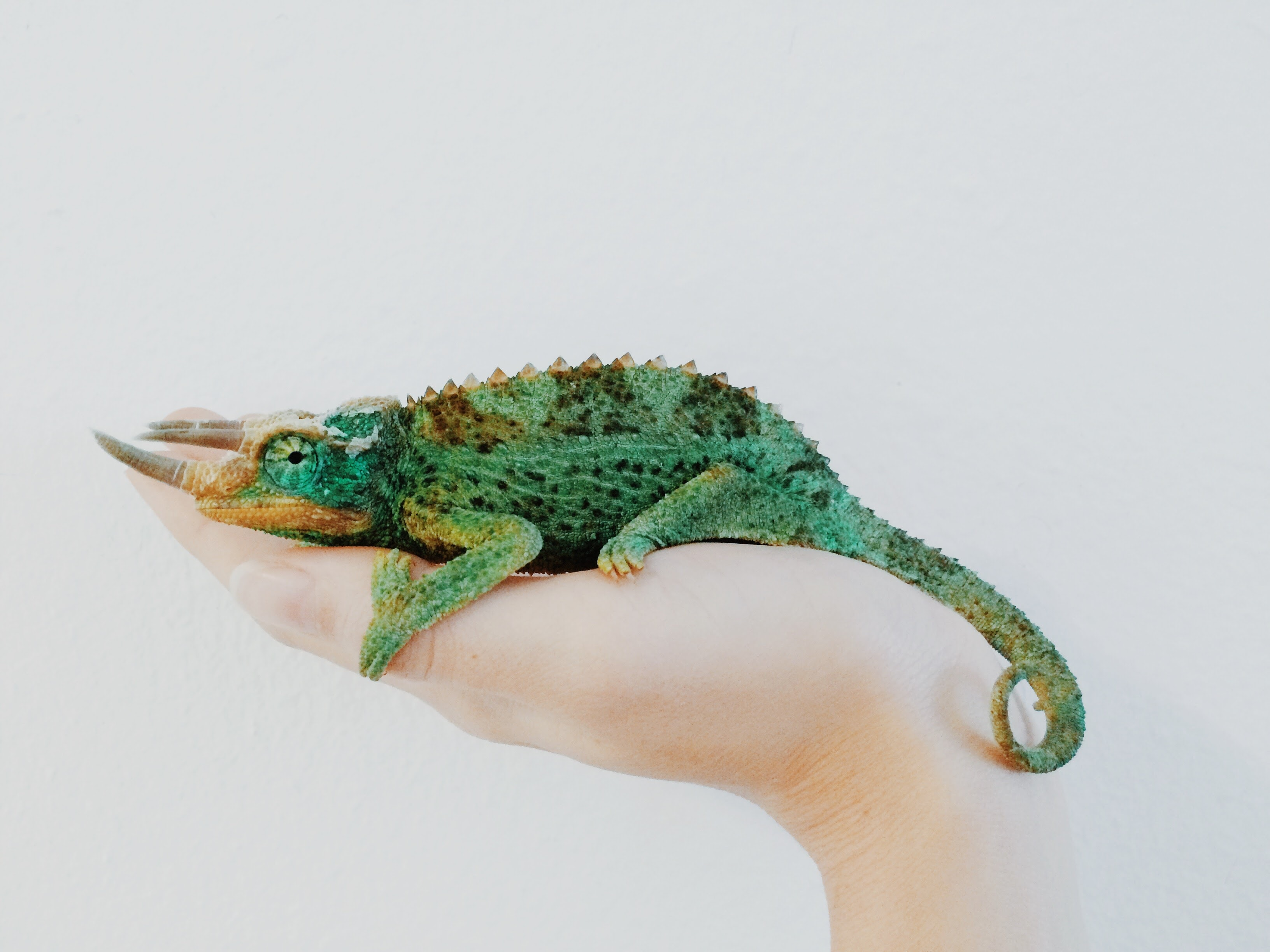 Colorful green chameleon calmly sits in a person's hand