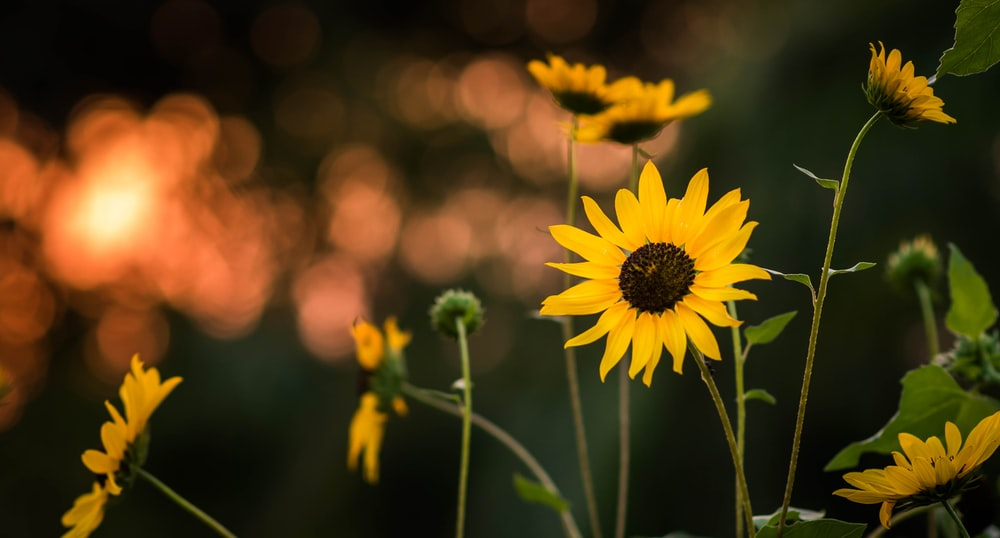 selective focus photography yellow sunflower