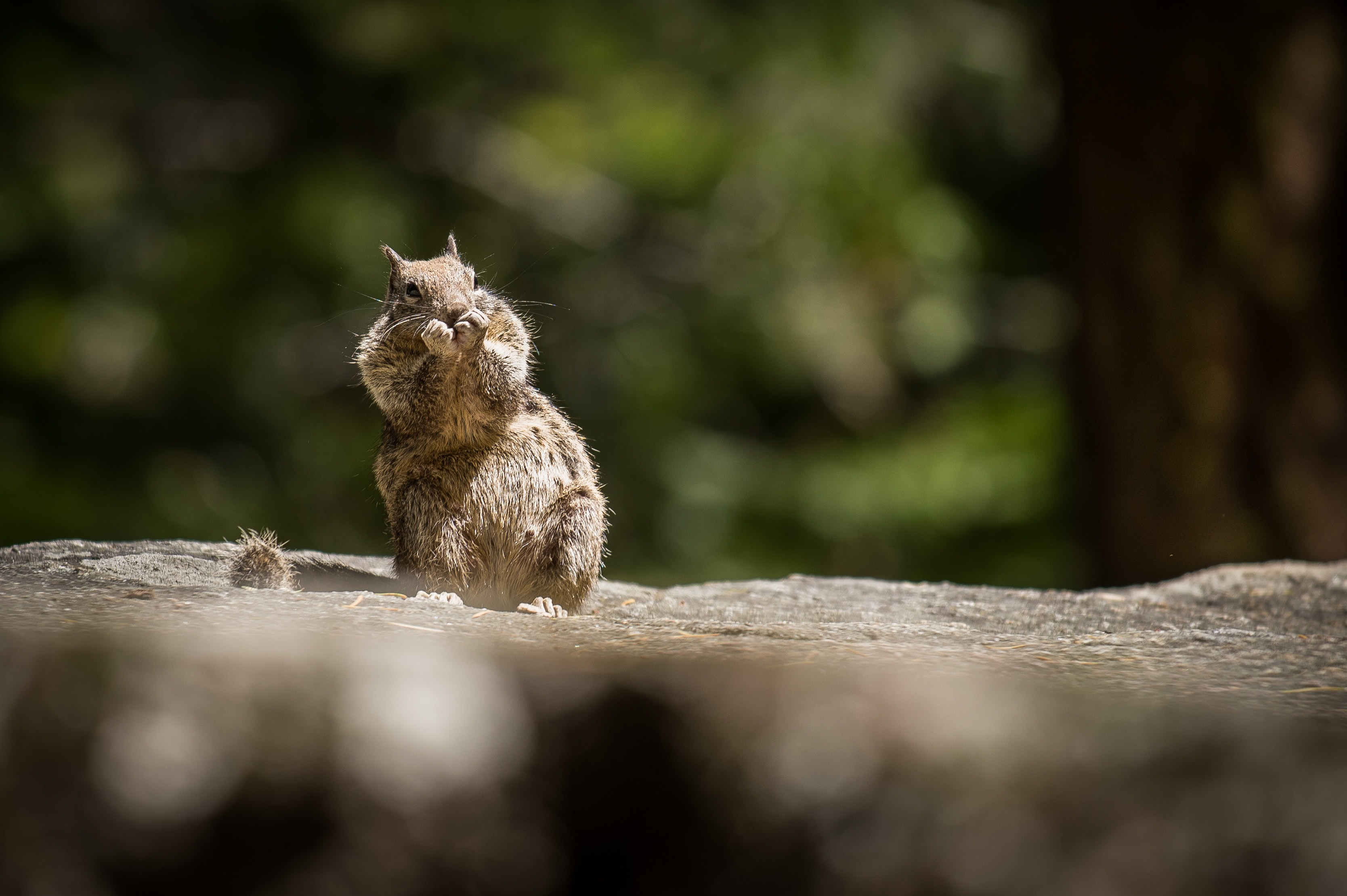 shallow focus photo of eating squirrel on rock