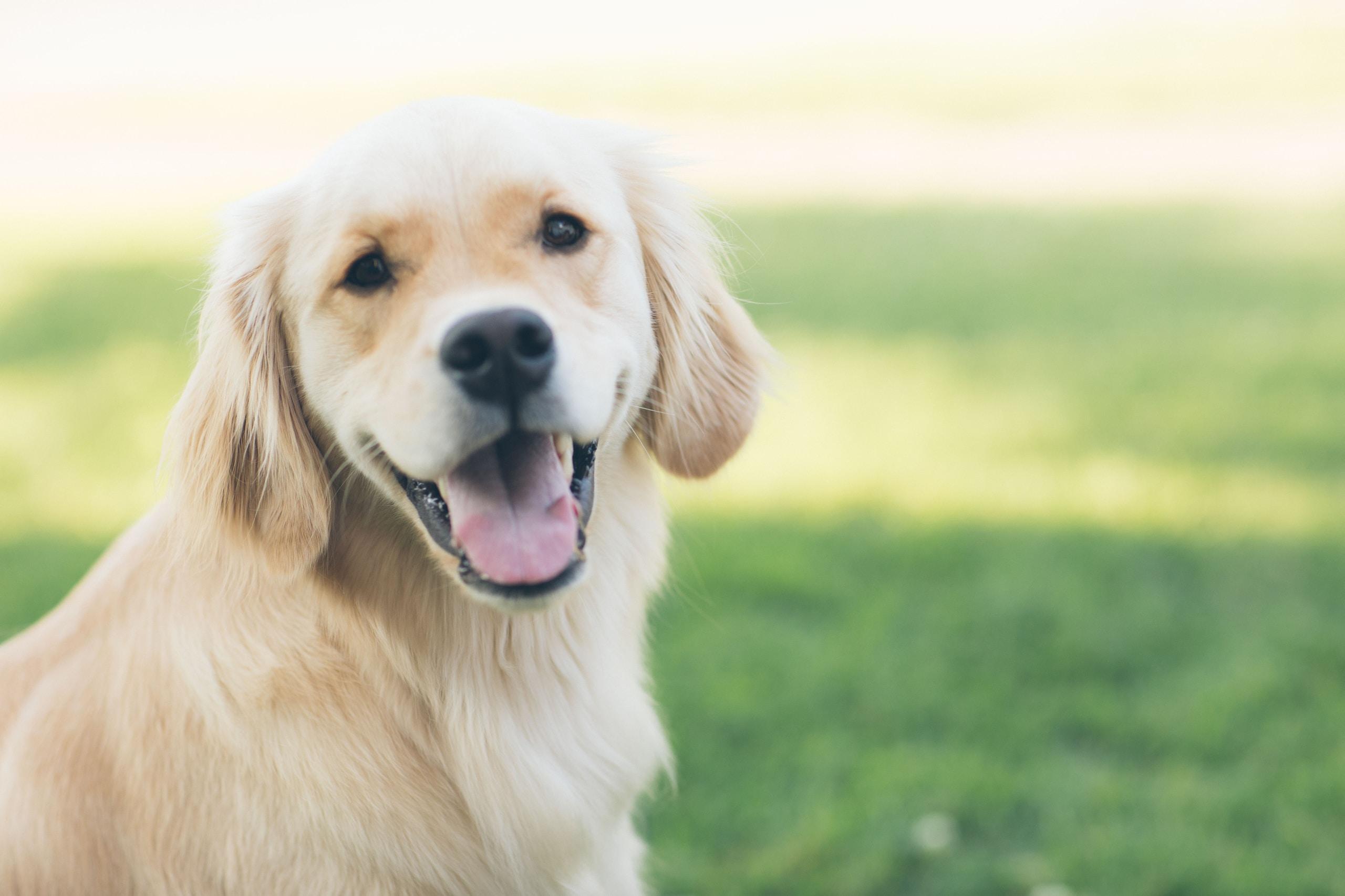 Golden retriever adulto, perros