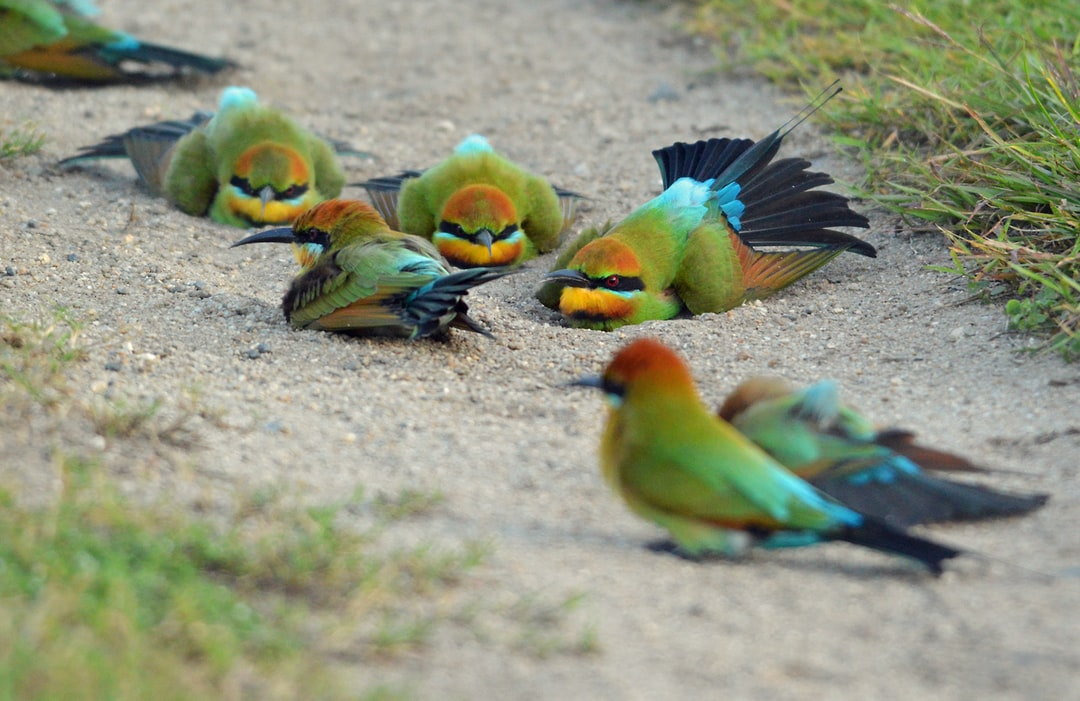 Late in the day, these colorful Rainbow Bee-eater birds were enjoying a dust bath.