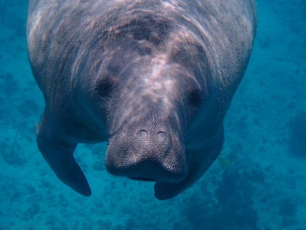 gray sea cow under water