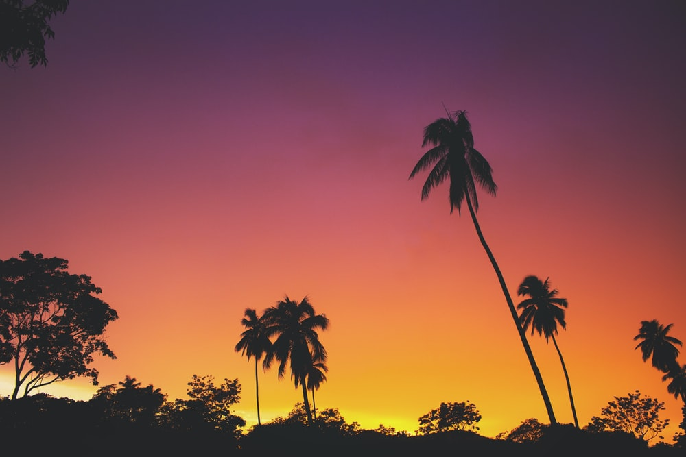 silhouette of coconut palm trees during golden hour
