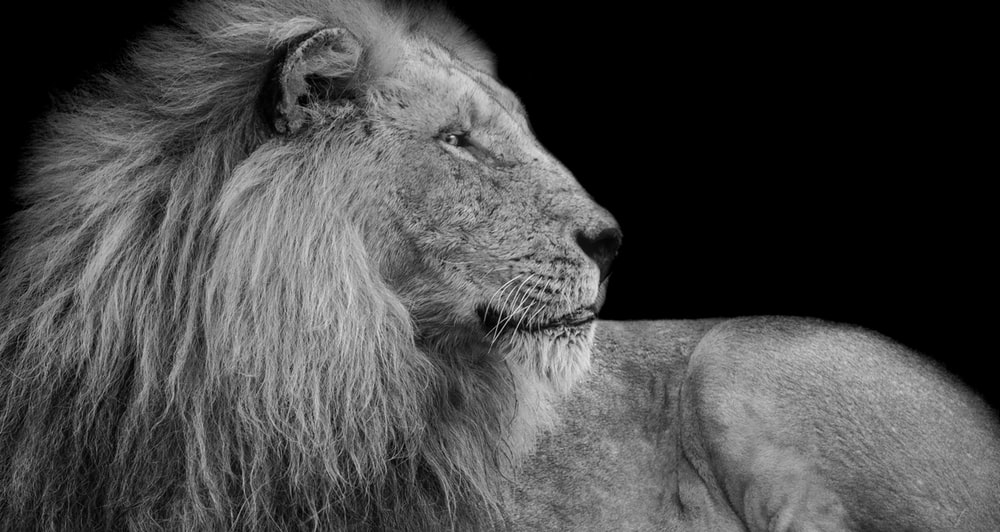 grayscale photography of adult lion