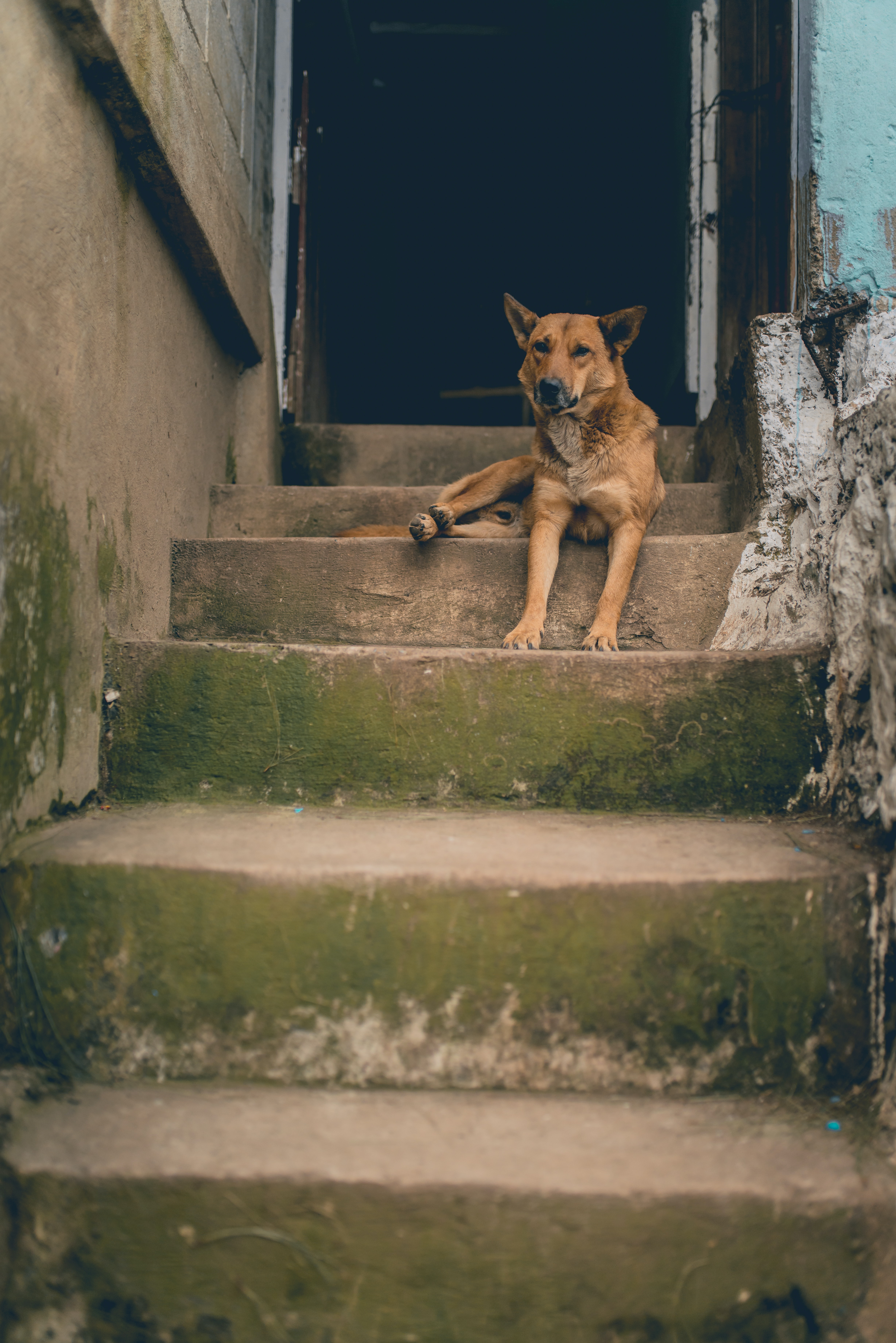 brown dog laying on staircase