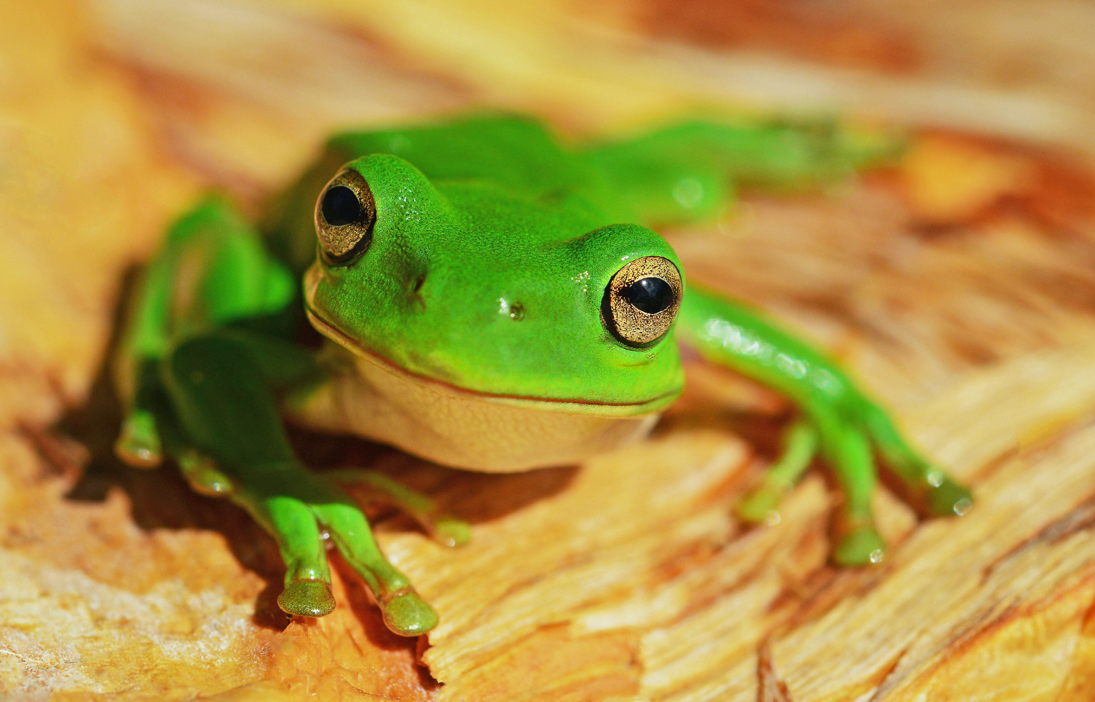 A bright green frog atop a piece of wood looks toward the camera, appearing to smile