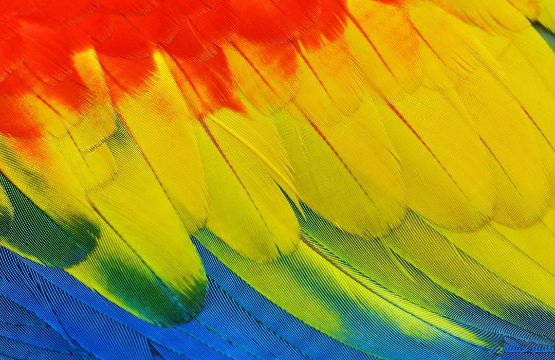 Close up of the amazingly colorful feathers of a Scarlet Macaw parrot. Photo taken at Kuranda Birdworld, Australia.