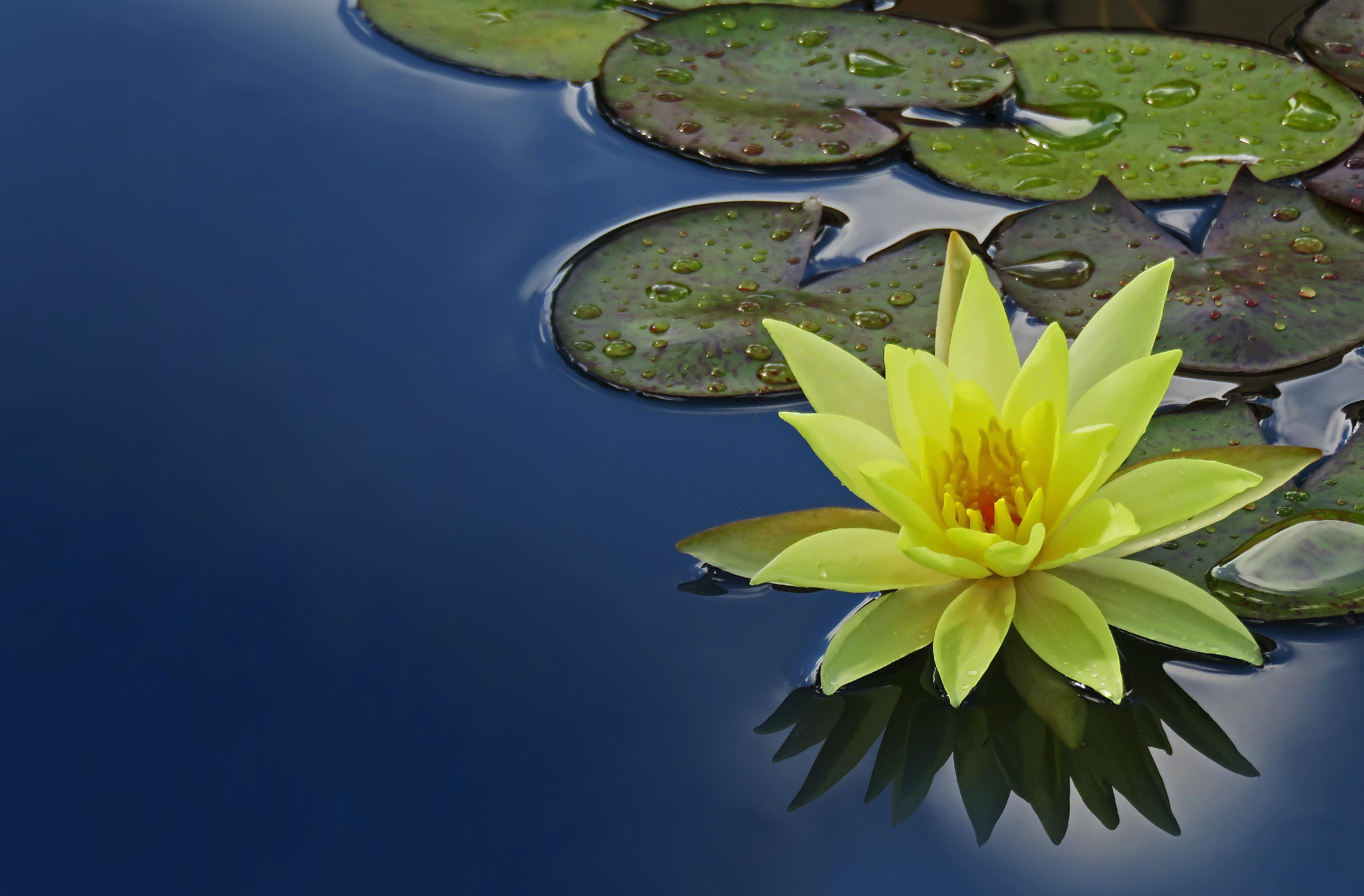 yellow lotus flower floating