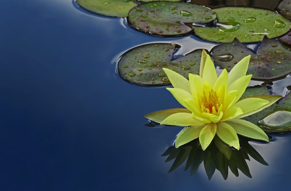 yellow lotus flower floating