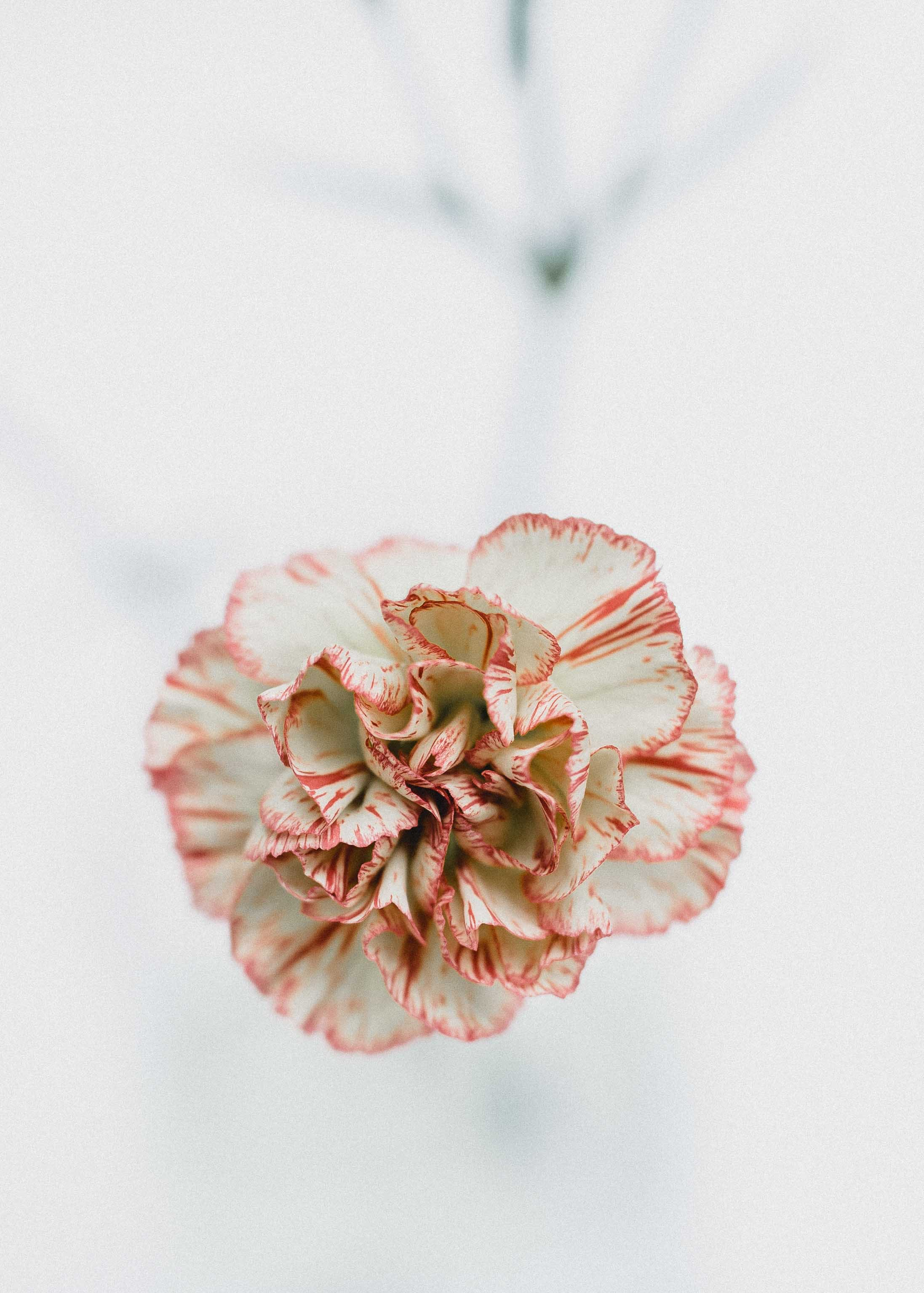 macro shot photography of red and white flowers