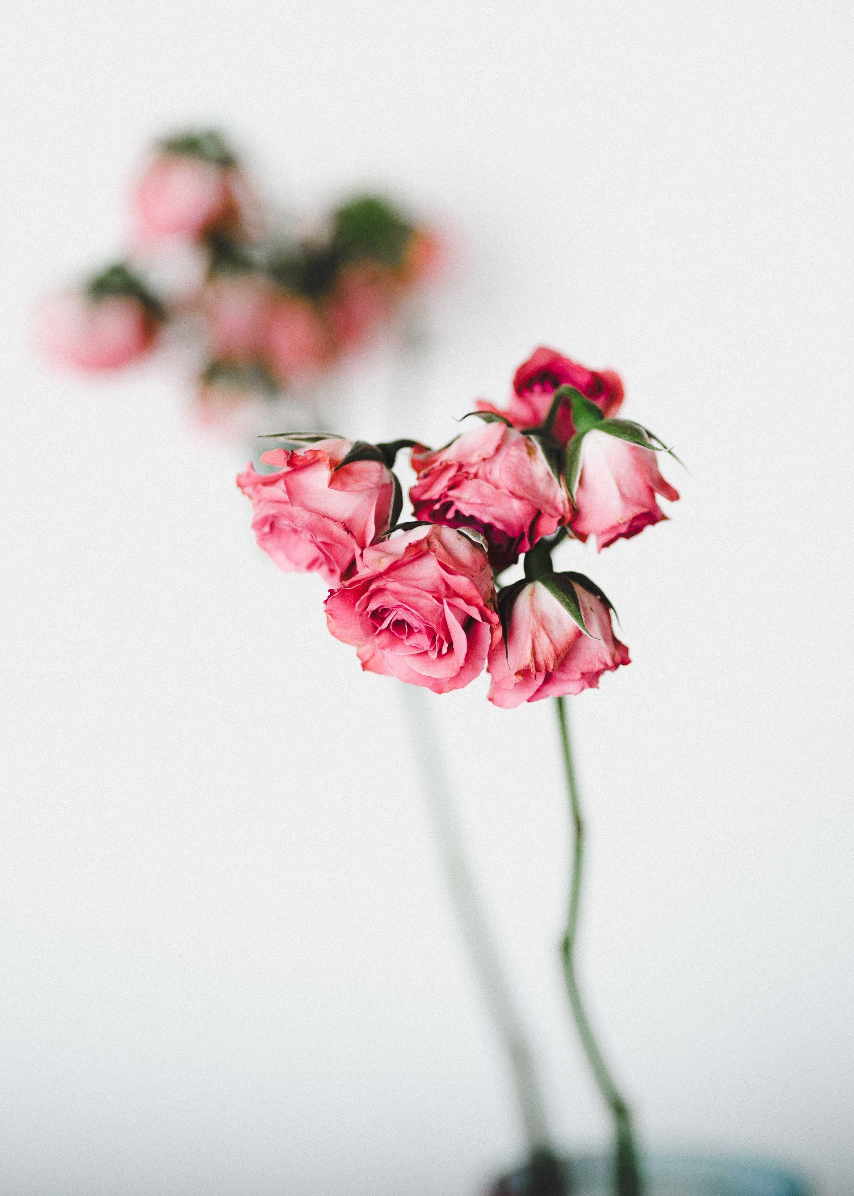 pink roses shot
