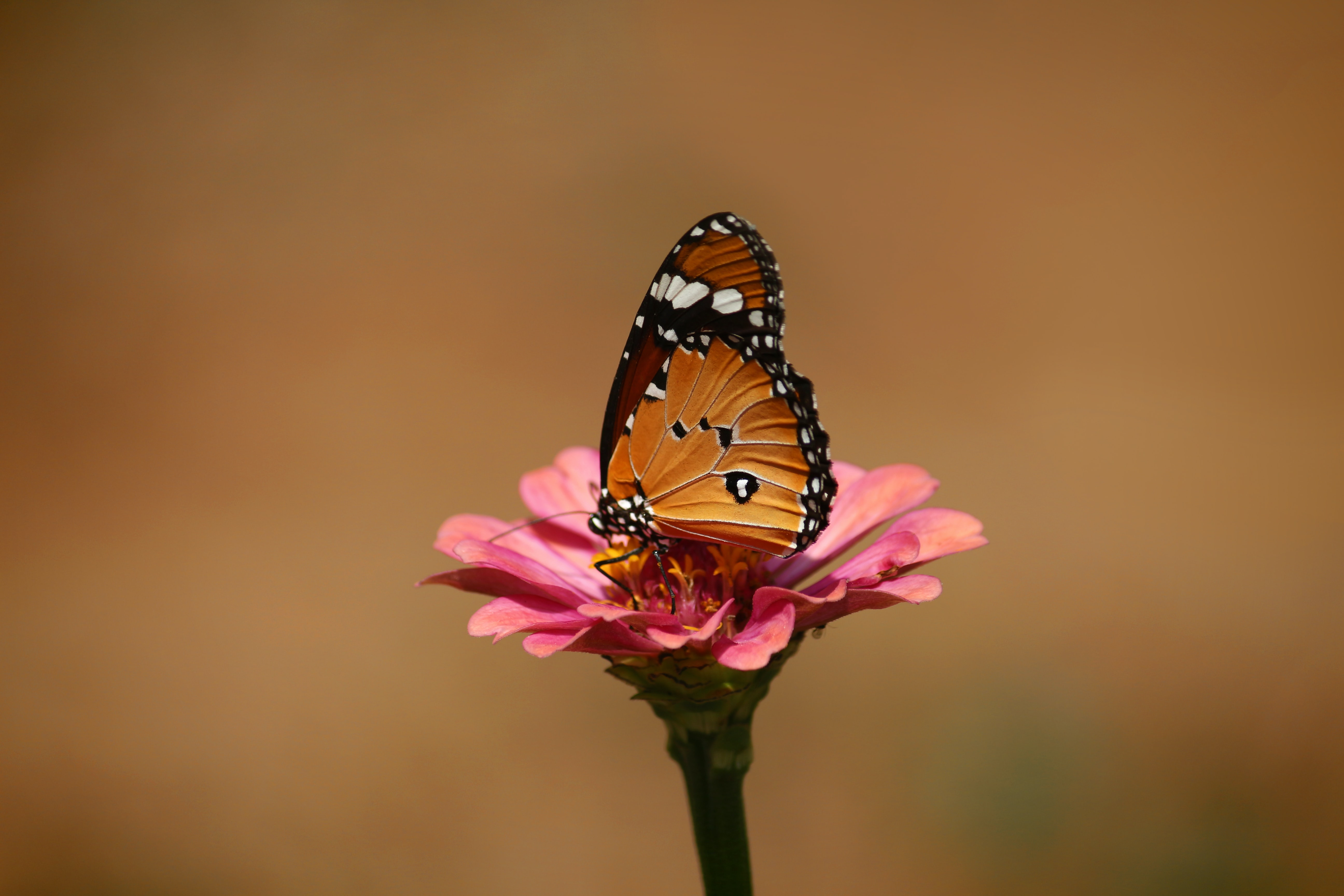 Minimalist portrait of a monarch butterfly perched on a pink flower