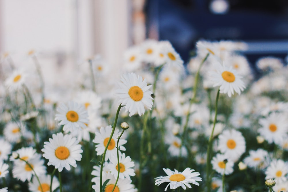 focus photography of daisies