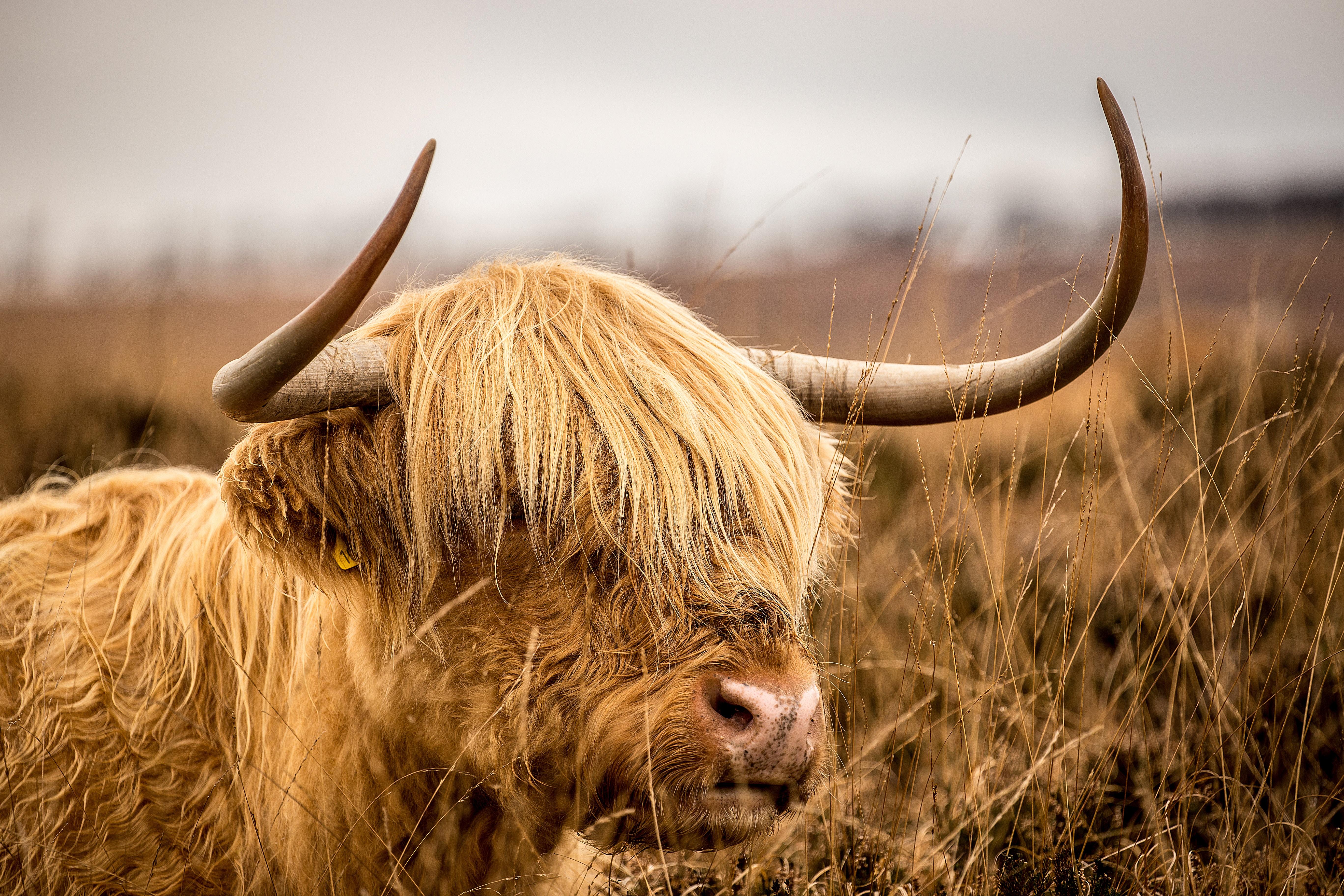 brown bison on grassfield
