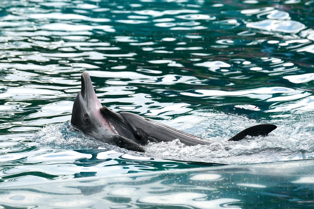 black dolphins swim